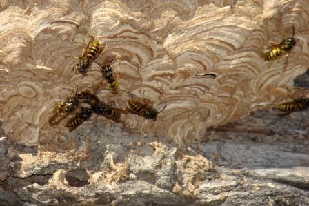 wasps-at-nest.JPG