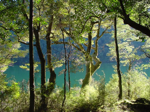 Lake-Rotoiti-through-beech.jpg