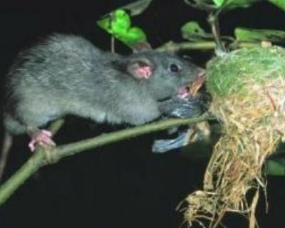 rat-eating-fantail-on-nest.jpg