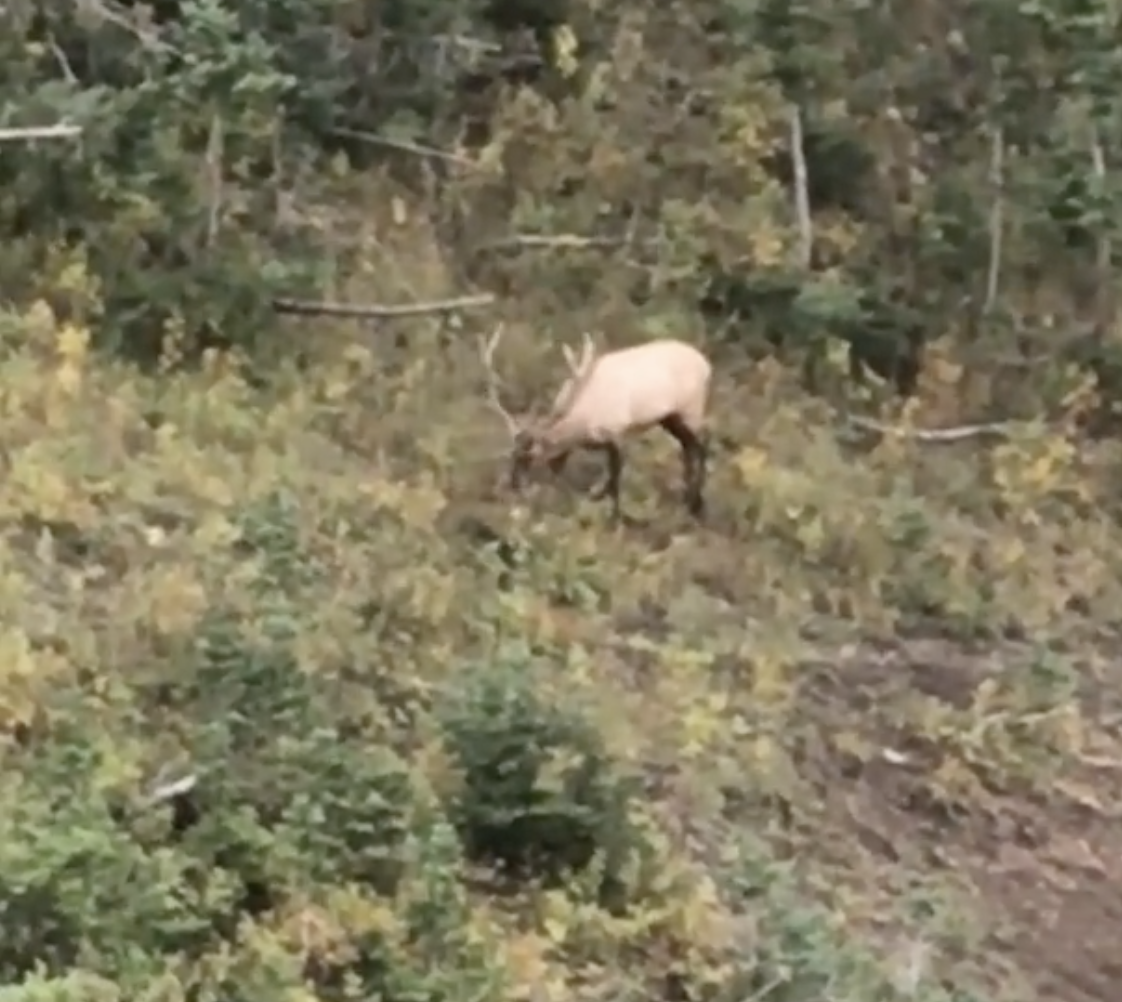 Trip Highlight #4 : a 2+ hour stalk closing the gap to 85 yards on this 5x6. He started bugling and chuckling around 1:30pm & I went for it. I wish I would've got the video but every time he'd stop and bugle I'd drop my phone and get ready. He pushed a couple spikes toward me but would turn back around. I would've shot the spikes if they were legal - I had a 50-60 yard shot on both for awhile. This is as good as it got with him though because it was wide open between us. His cows ended up moving uphill and winded me. I'm super proud of this stalk given the number of eyes on me and the terrain. I heard him chuckle 1-2 times several other mornings but couldn't pattern him well enough to make a move. Still learning a lot about these majestic animals.
