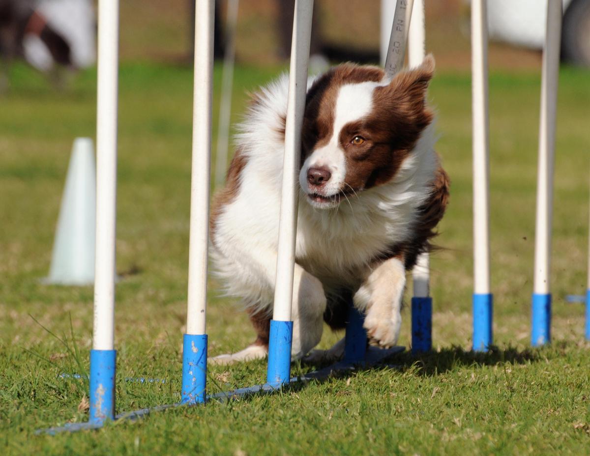 mackay-dog-agility-event.jpg