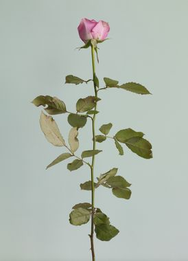 gall_exhibition_ROSE_IS_A_ROSE_IS_ROSE_sub5_1456462232.jpg