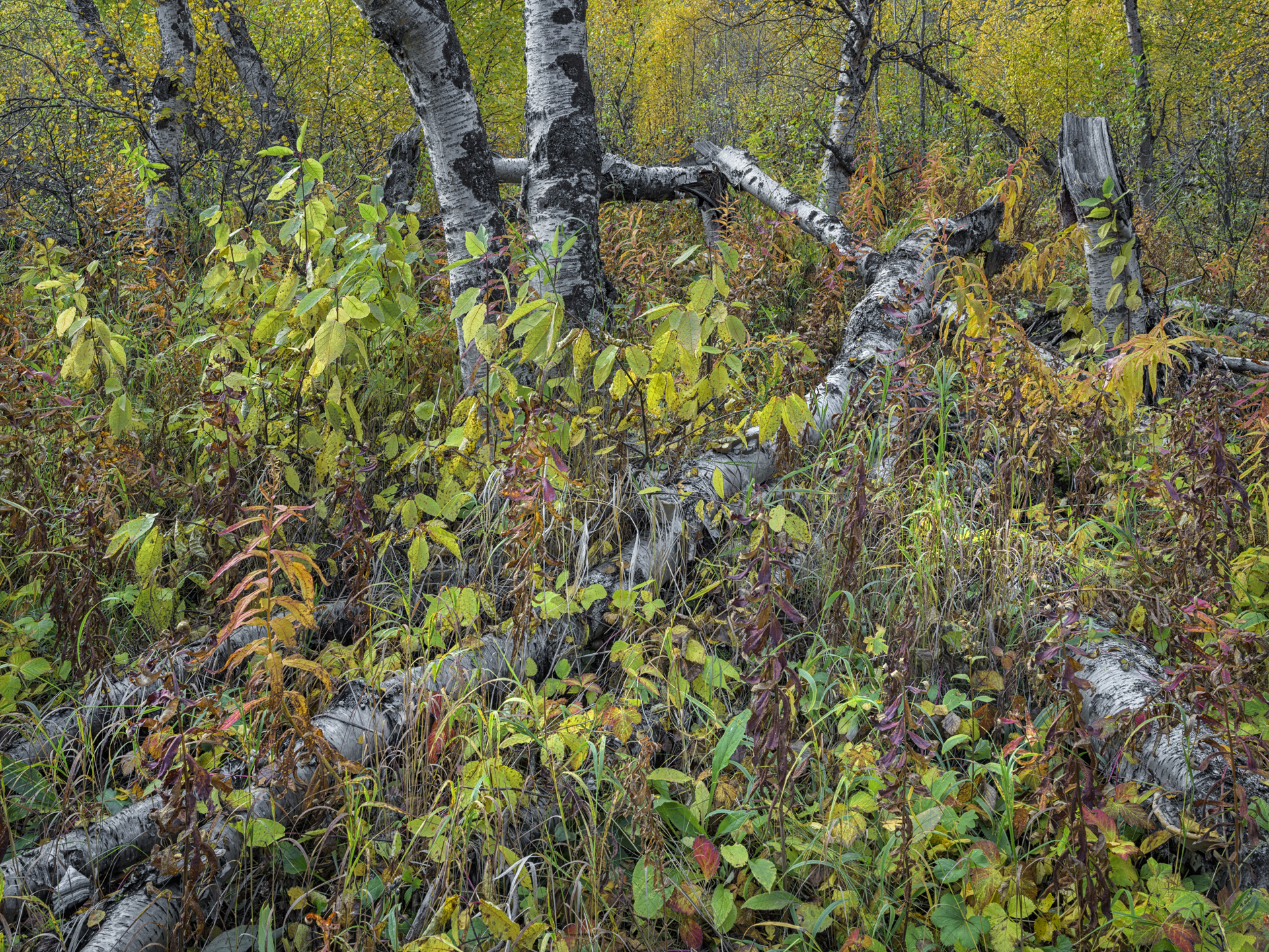 Autumn Forest, Abisko, Sweden 2017