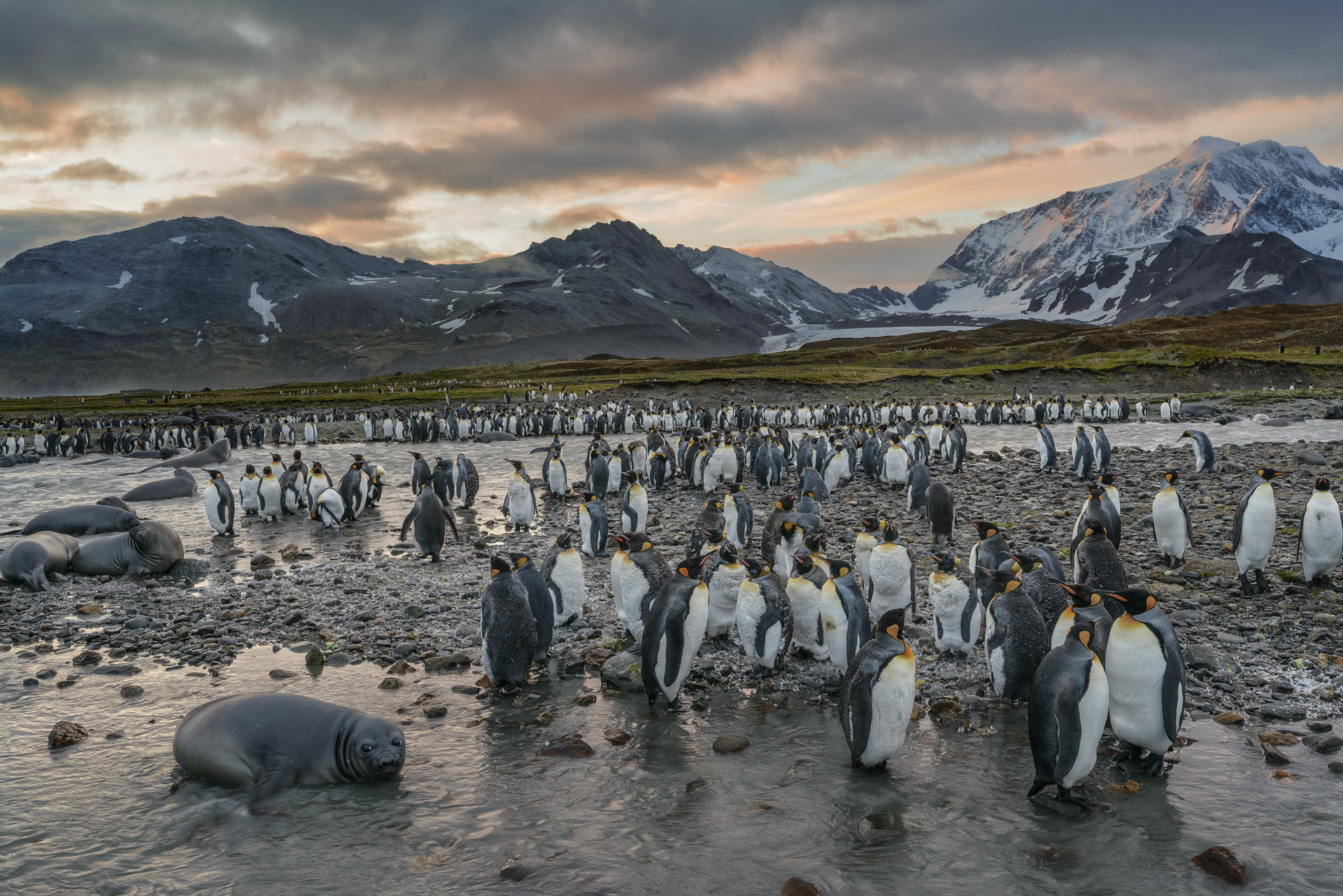 King Penguins, St. Andrews Bay, South Georgia, Antarctica 2016