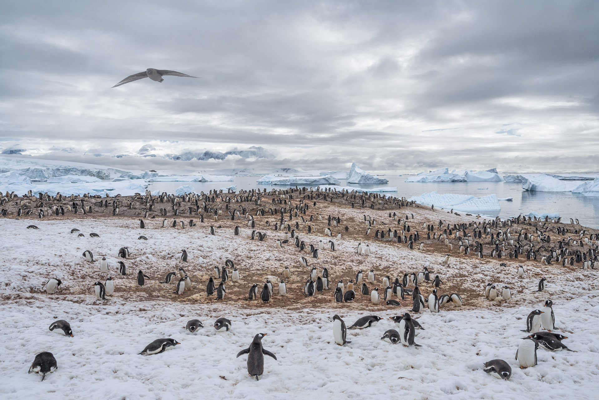 Gentoo Penguin Colony, Cuverville Island, Antarctica 2016