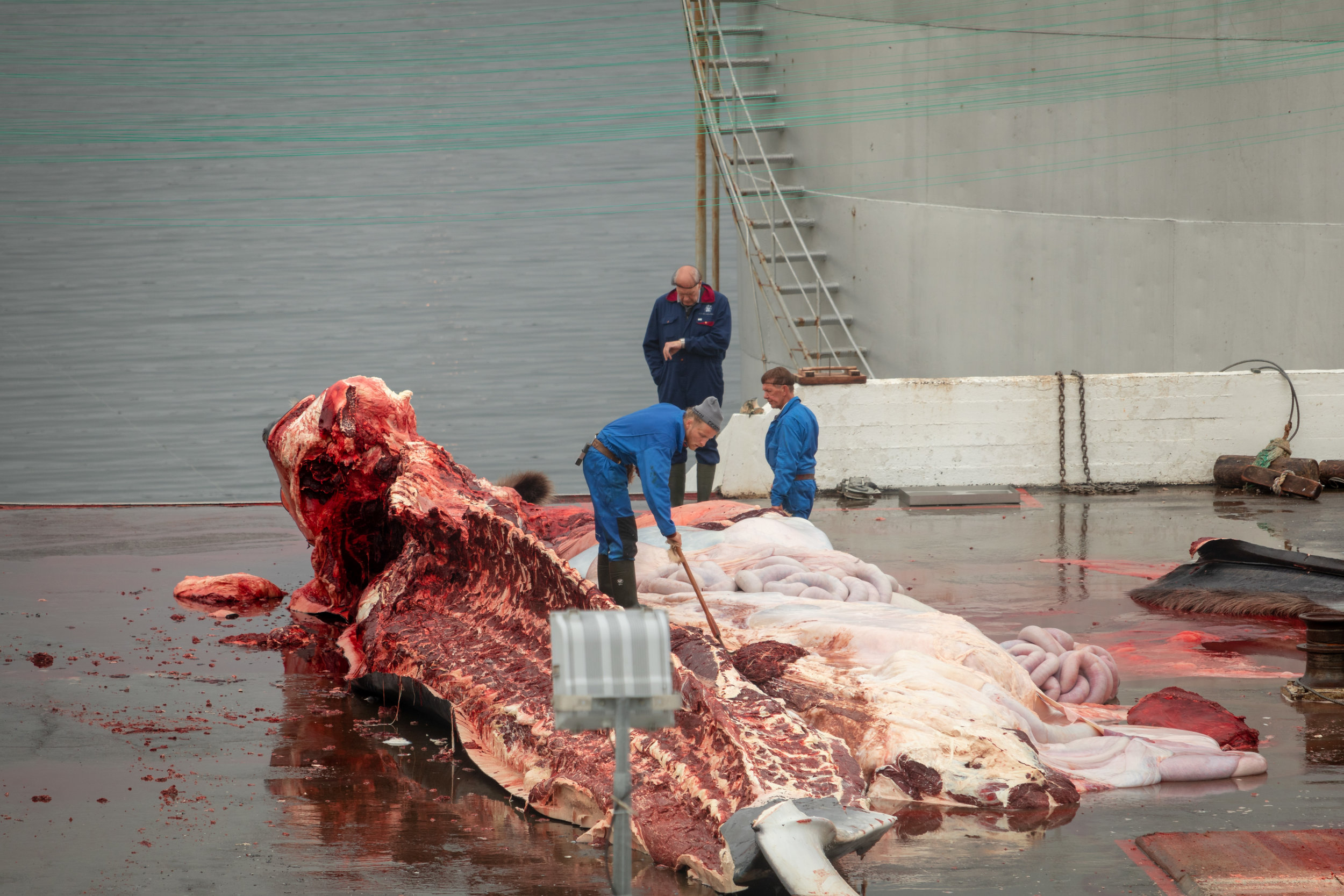 A worker checking his watch. It takes surprisingly little time to take apart a whale that may weigh 80 tonnes.