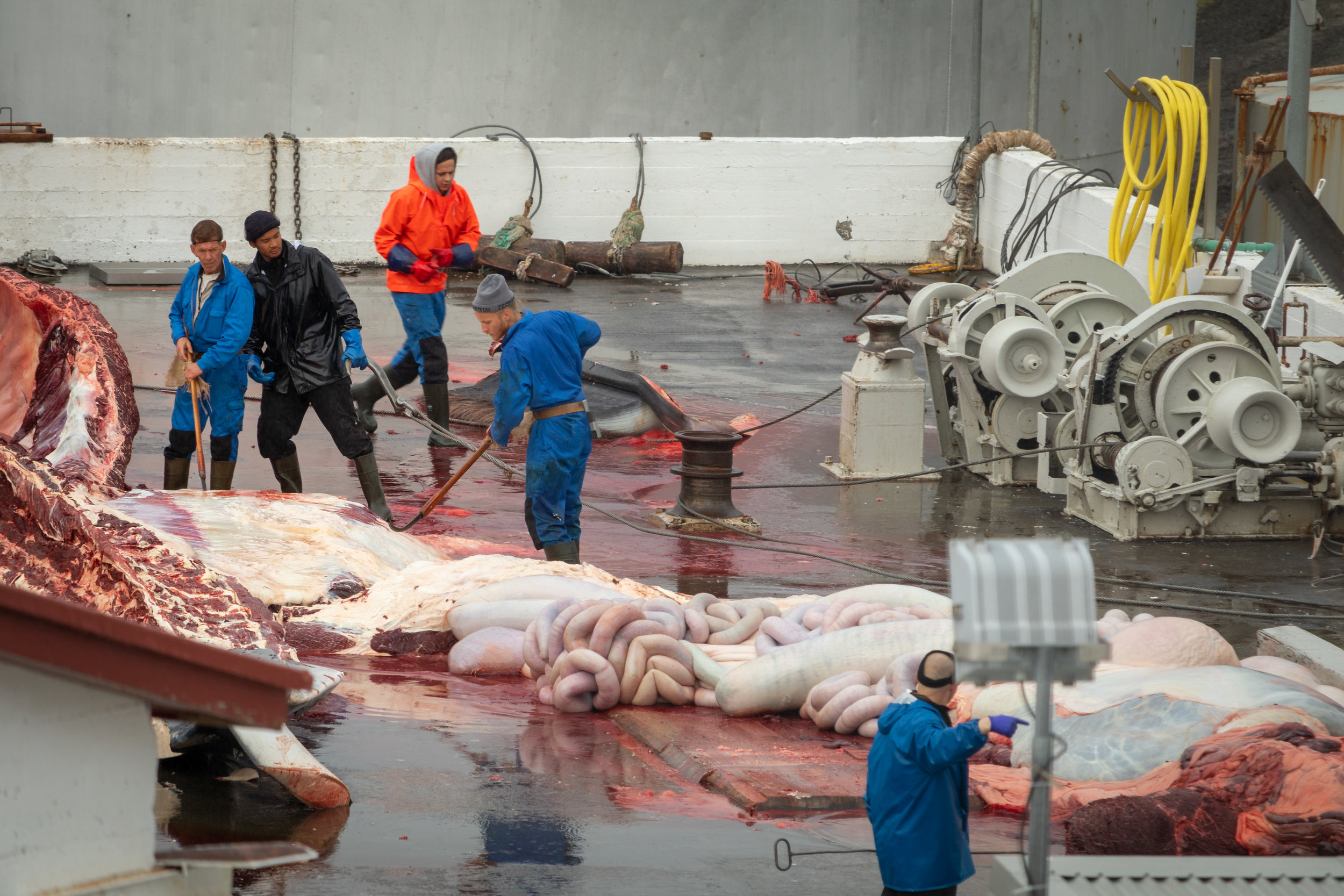 Waste is hauled away to be discarded into holes in the floor of the whaling station