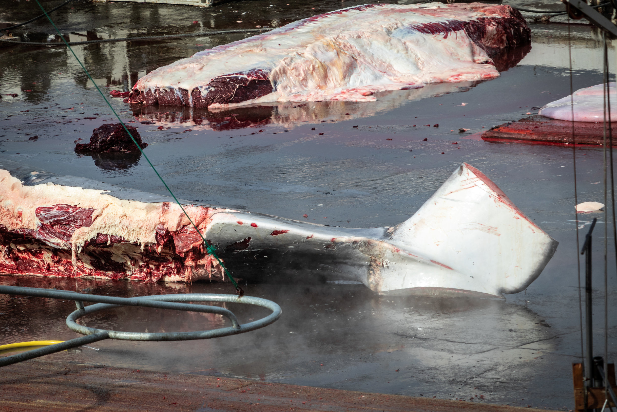 The tail of the whale now visible as she's been flipped over. Whale meat visible in the background.