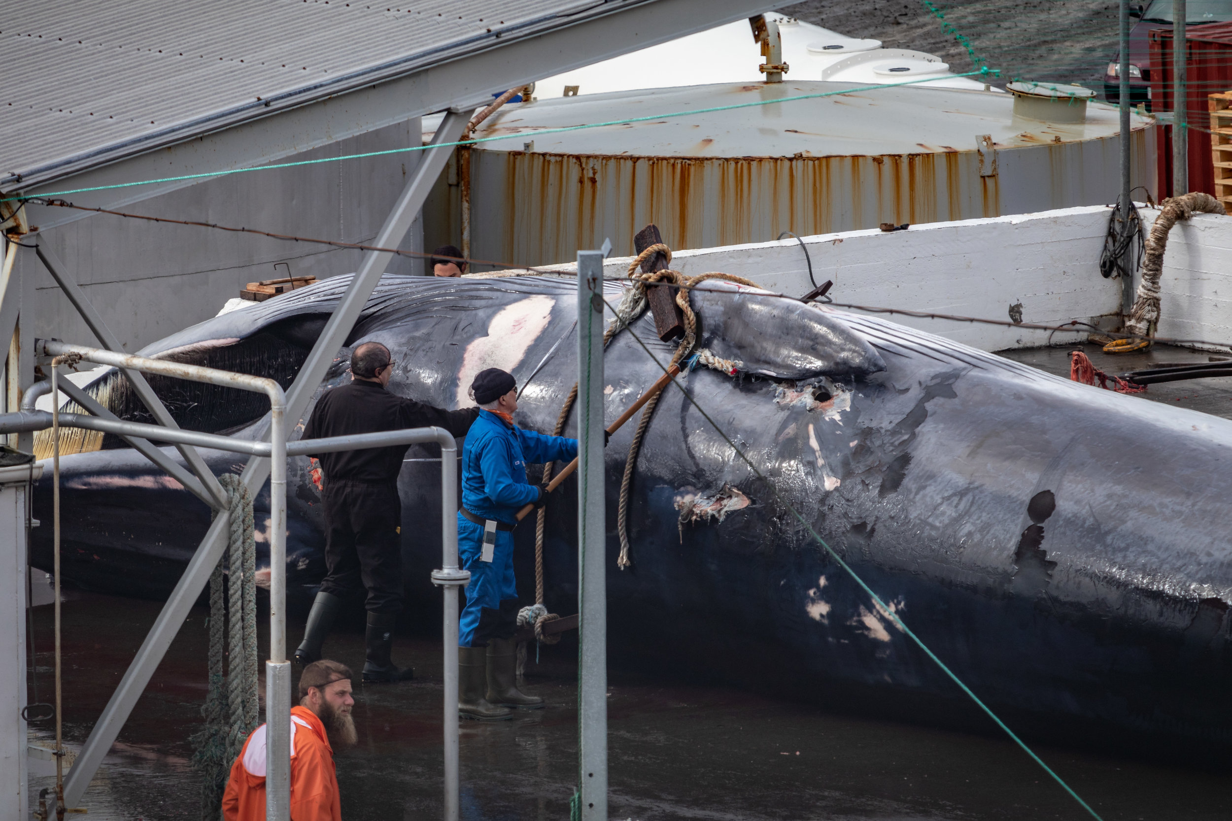 The vets take size measurements whilst a worker goes about immediately removing the rope that attached the whale to the side of the boat.