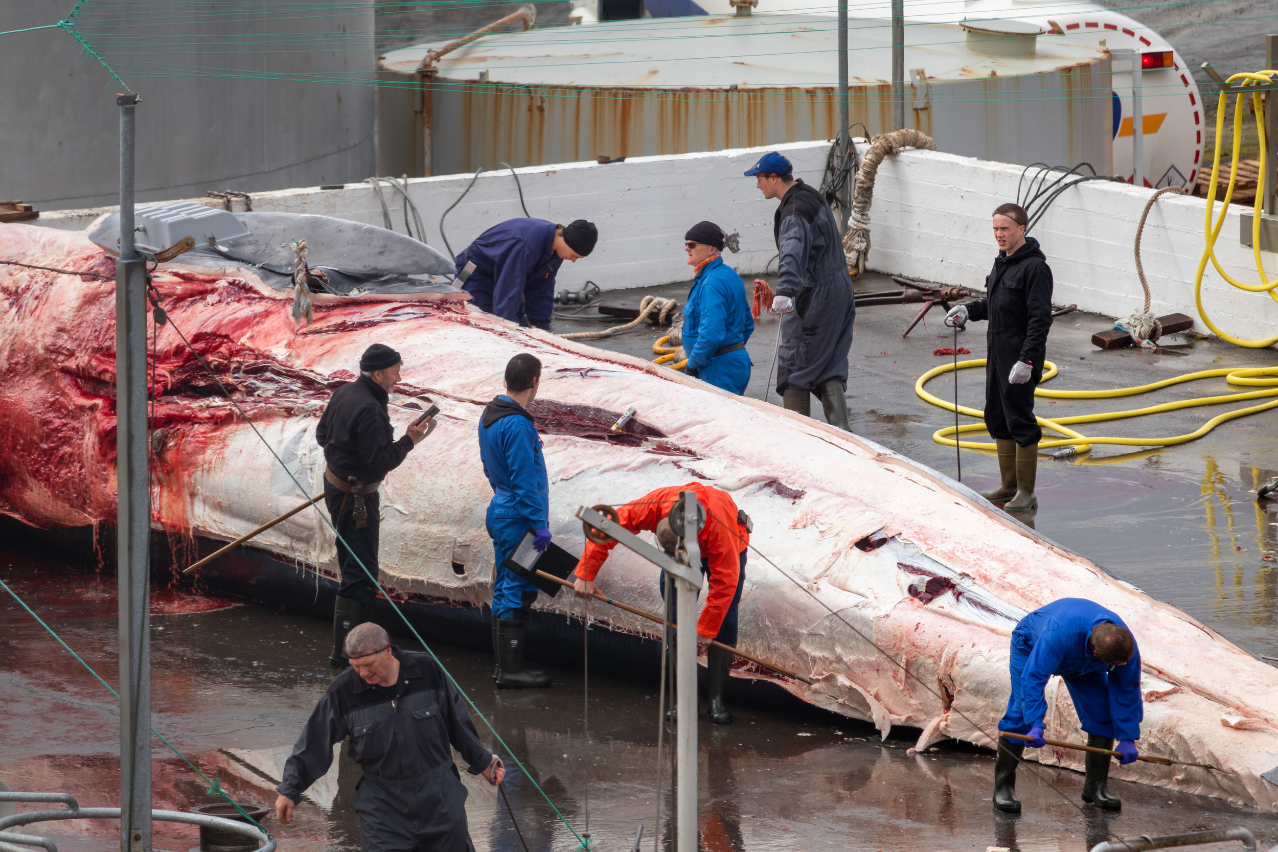 After a couple of minutes, the skin is removed. The vet is taking measurements, perhaps the temperature of the whale, whilst a worker sharpens his blade next to him, ready to start taking the meat.
