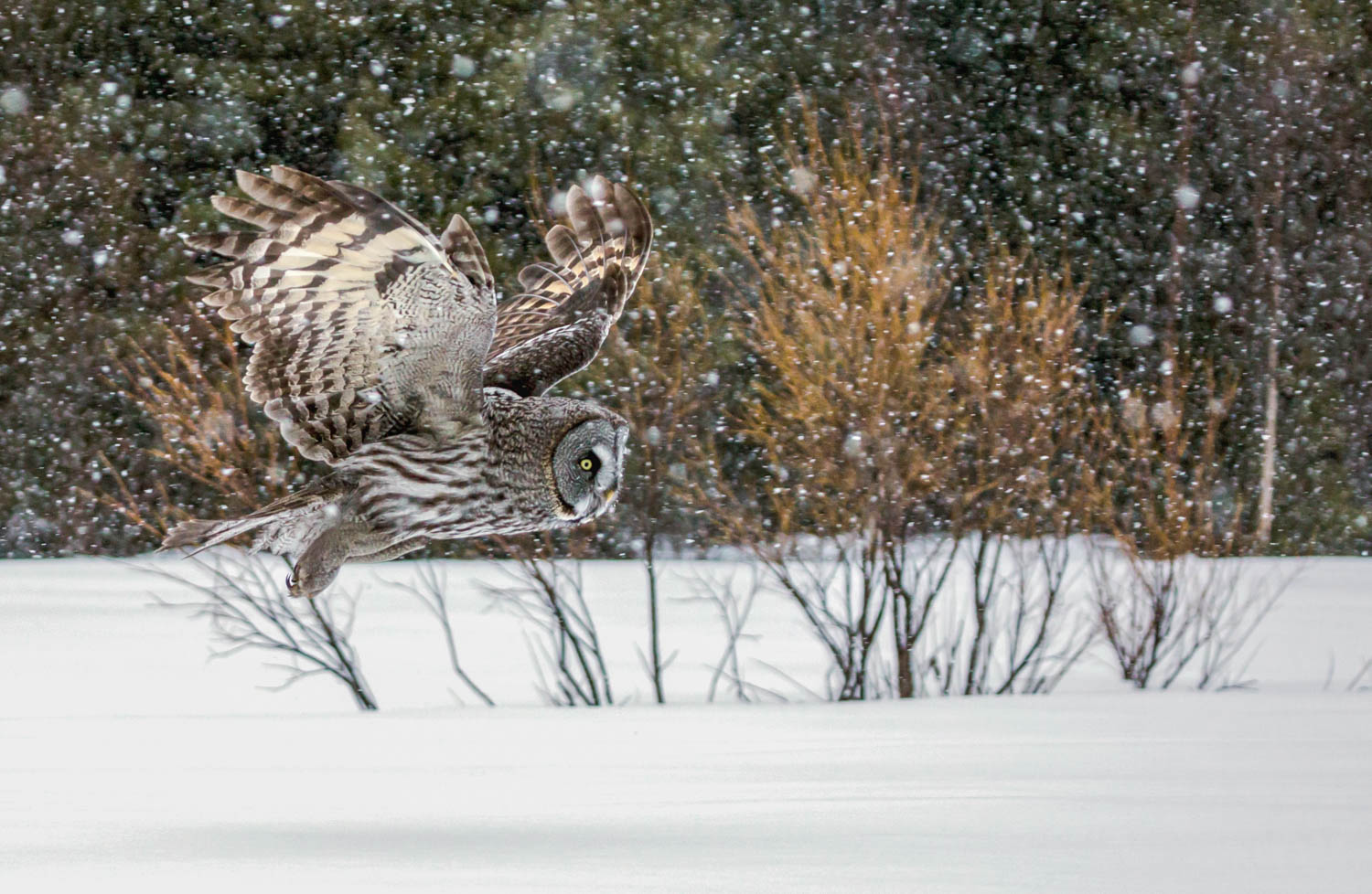 Great Grey Owl in Flight