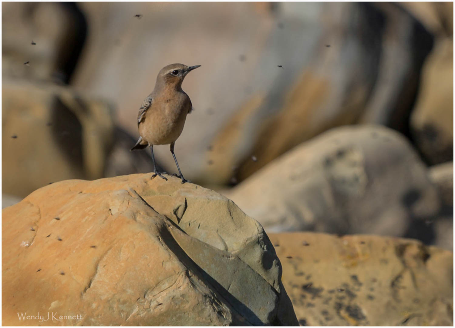 Wheatear catching Flies