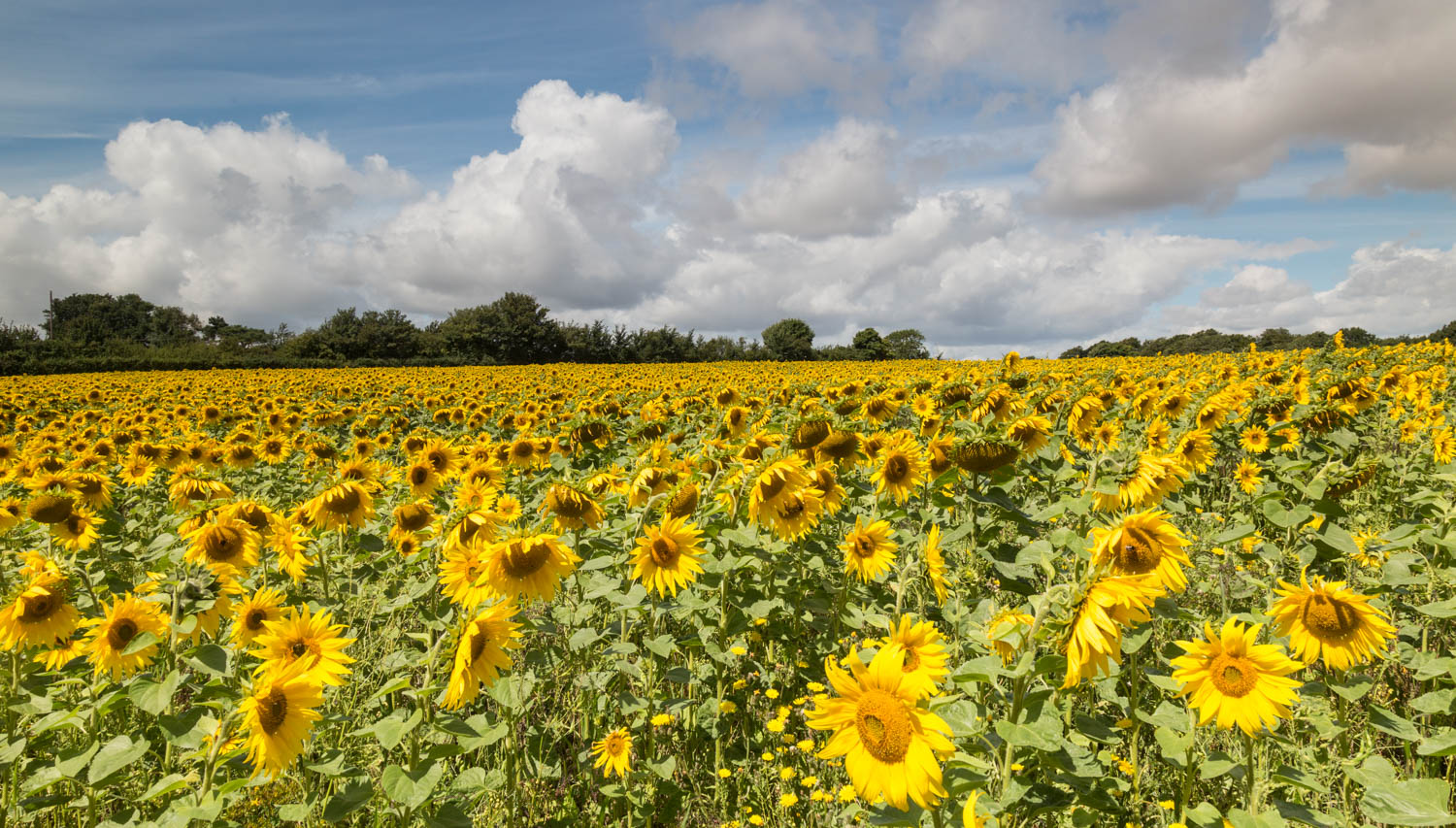 Sunflower field  Kent
