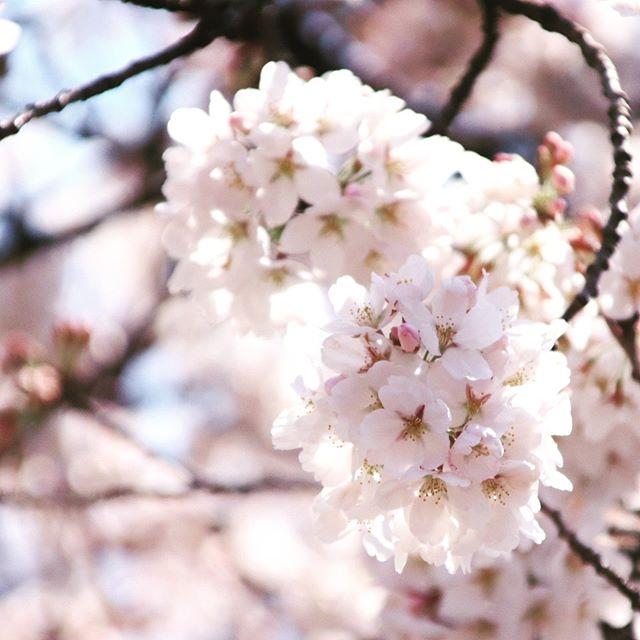 さて、日本の桜の季節です。 gakuの周辺の箱根強羅公園などでもソメイヨシノなどを楽しむことができます。 箱根周辺の今年の開花予想は4/3。 ぜひ旅行の計画を立ててみてはいかがでしょうか。  It is the season of cherry blossoms in Japan. You can also enjoy Somei Yoshino etc. in Hakone Gora Park etc. around gaku. The flowering forecast for this year around Hakone is 4/3. How about planning your trip?  #ゲストハウス #旅行好き #箱根 #箱根登山鉄道 #強羅 #温泉デート #彫刻の森美術館 #箱根強羅公園 #桜 #桜開花予報 #春 #sakura #guesthouse #futon #backpacker #japan #travel #hotsprings #hakoneshrine #japanesestyle #lakeashino #airbnb #volcano #cosy #tatami #cherryblossoms
