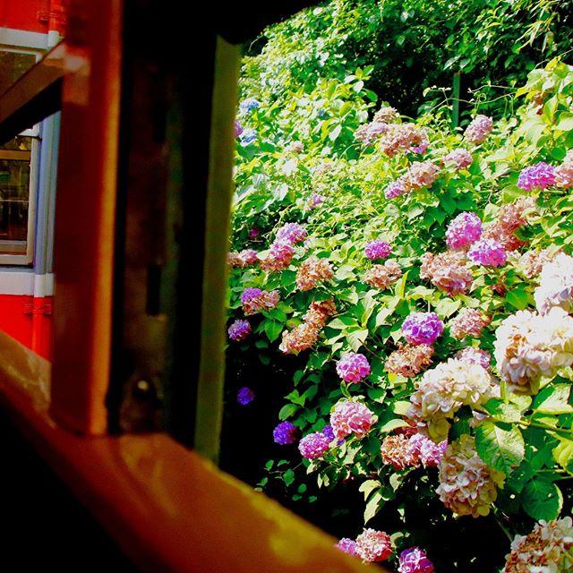 """箱根登山鉄道沿線のあじさいは、6月中旬頃から開花の時期を迎えます。 この時期の箱根登山電車は""""あじさい電車""""の愛称で親しまれています。 車窓に触れるほど咲き誇るあじさいをぜひ見に来てください。 もちろん、宿泊は終点の強羅駅にあるgakuで! ------------------------------------------------ Hydrangea along the Hakone Tozan Railway will have its flowering time from about the middle of June. The Hakone Tozan Train at this time is nicknamed """"Ajisai Train"""". Please come and see the blooming hydrangea as it touches the car window. Of course, staying at gaku at the end of Gora Station! #ゲストハウス #旅行好き #箱根 #箱根登山鉄道 #強羅 #温泉デート #箱根強羅公園 #春 #箱根の宿 #あじさい #あじさい電車#guesthouse #futon #backpacker #familyroom #japan #travel #gora #hakone #japanesestyle #lakeashino #airbnb #volcano #cosy #tatami #hydrangea #june"""