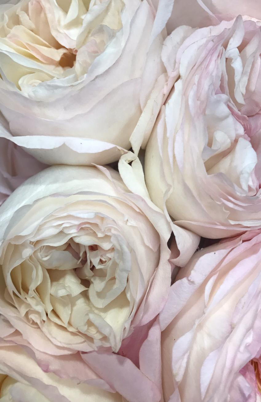white-ohara-garden-rose.PNG