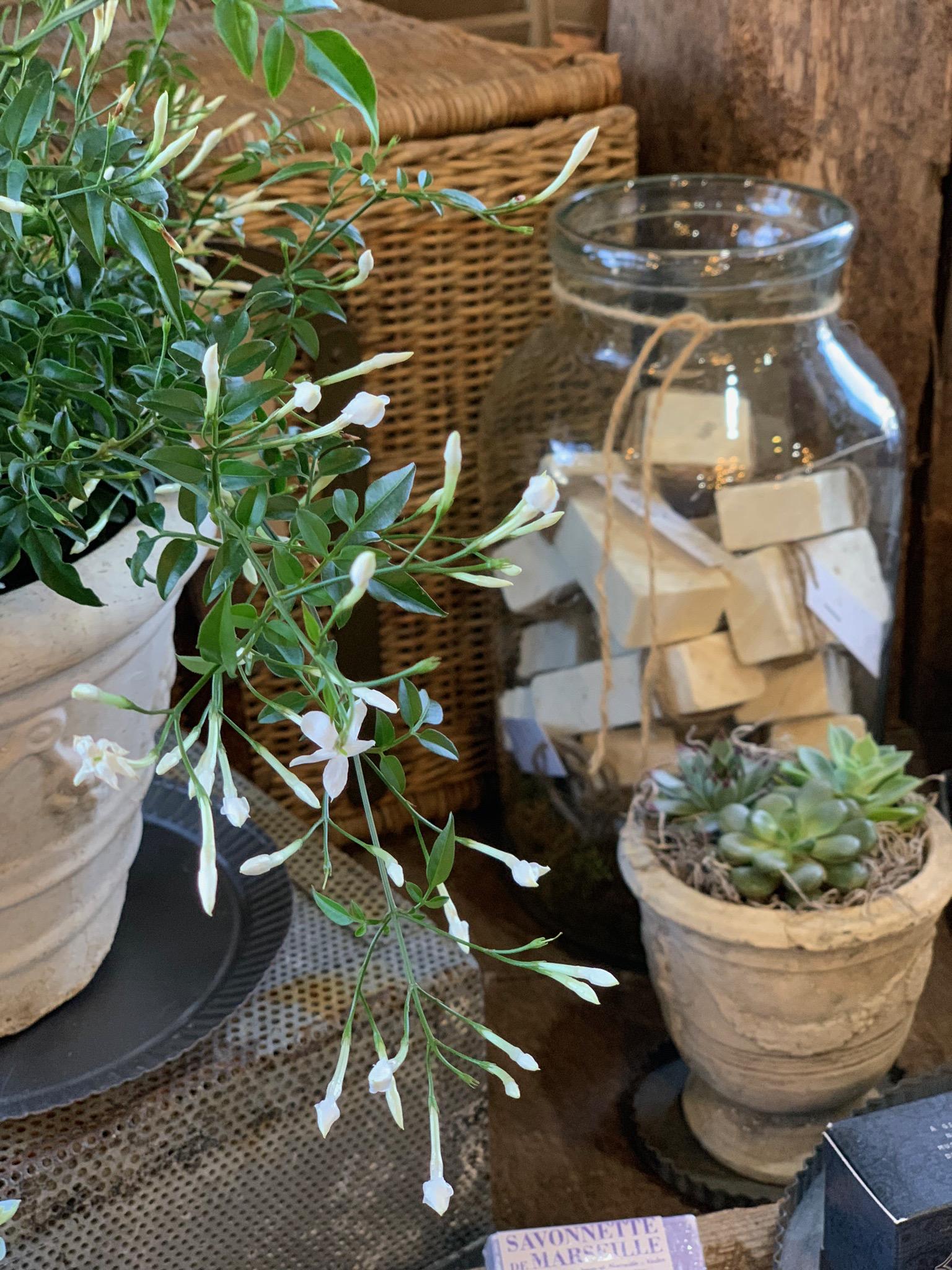 indoor-house-plant-jasmine.jpg