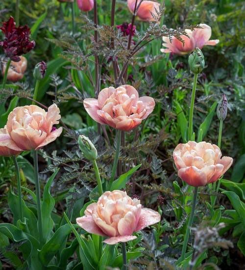 peach-tulips-open-petals-in-garden.jpg