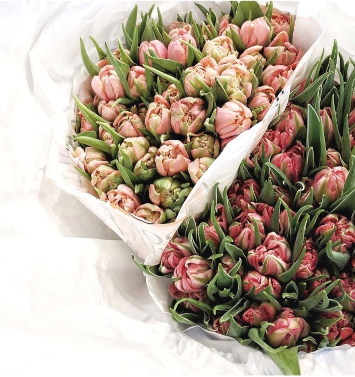 double-peony-tulips-pale-pink-holland.jpg