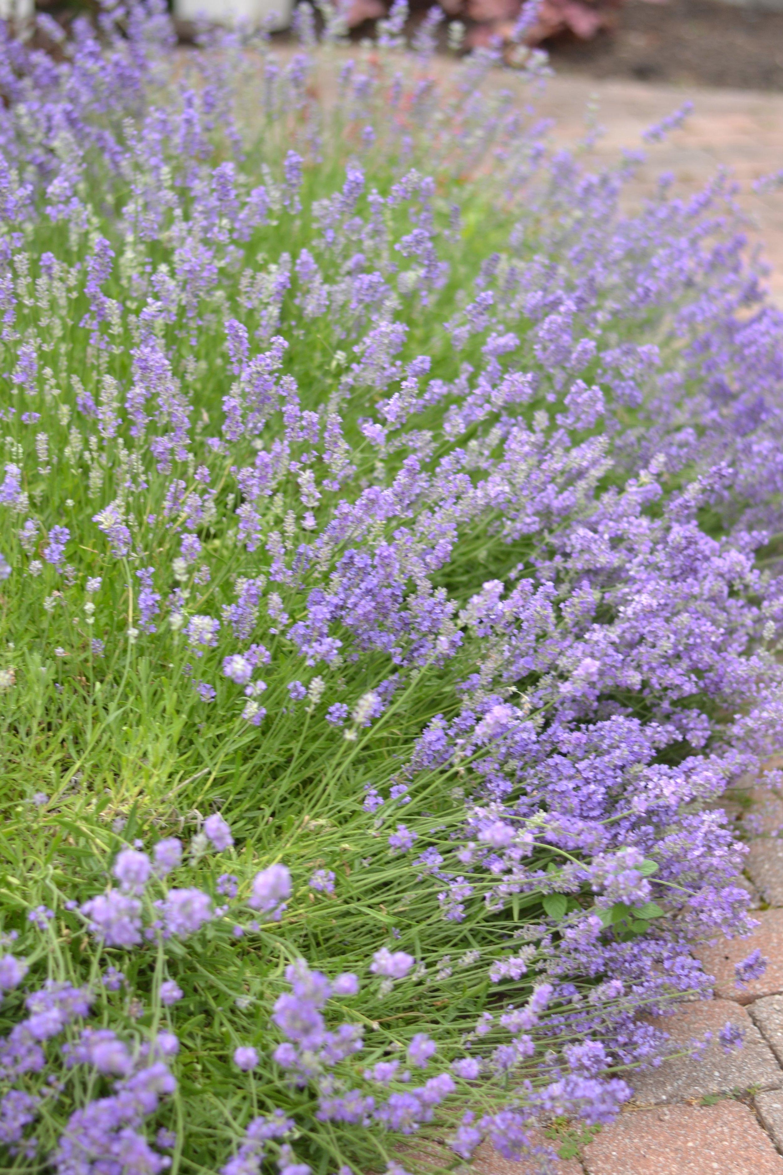 garden-inspiration-lavender.jpg