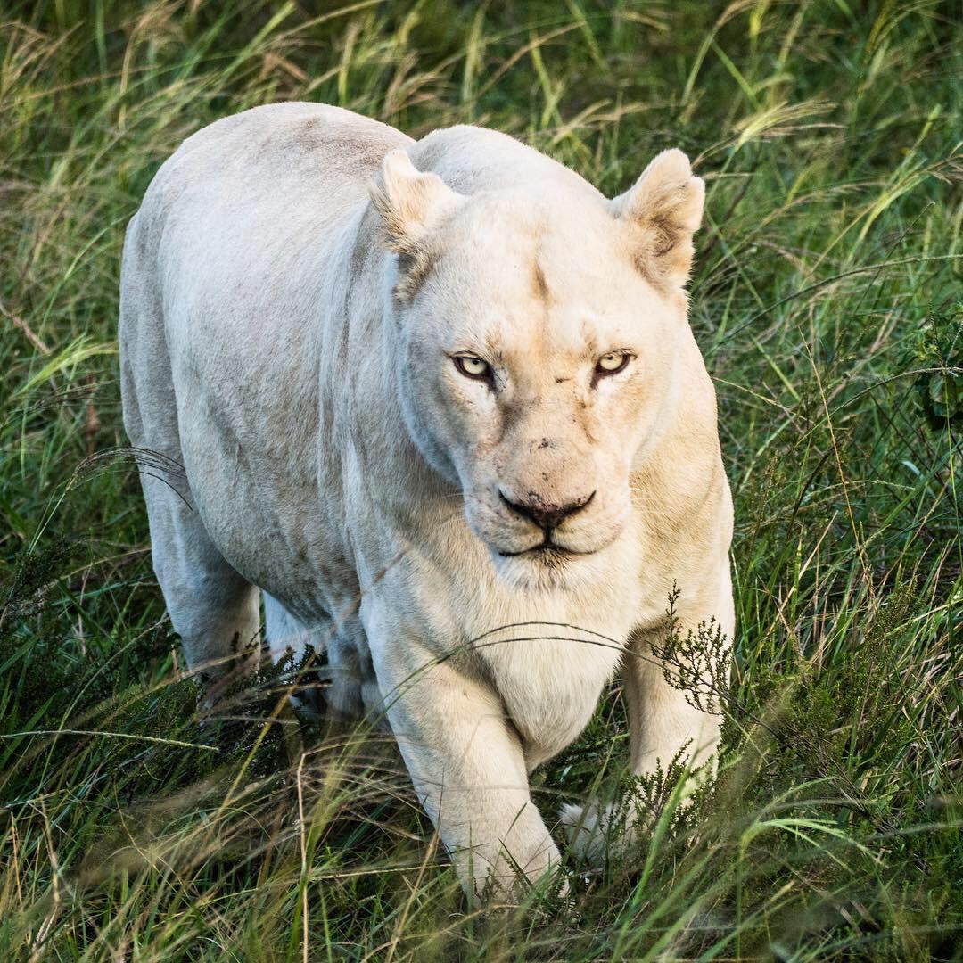 South Africa Blog_Lion 2.JPG