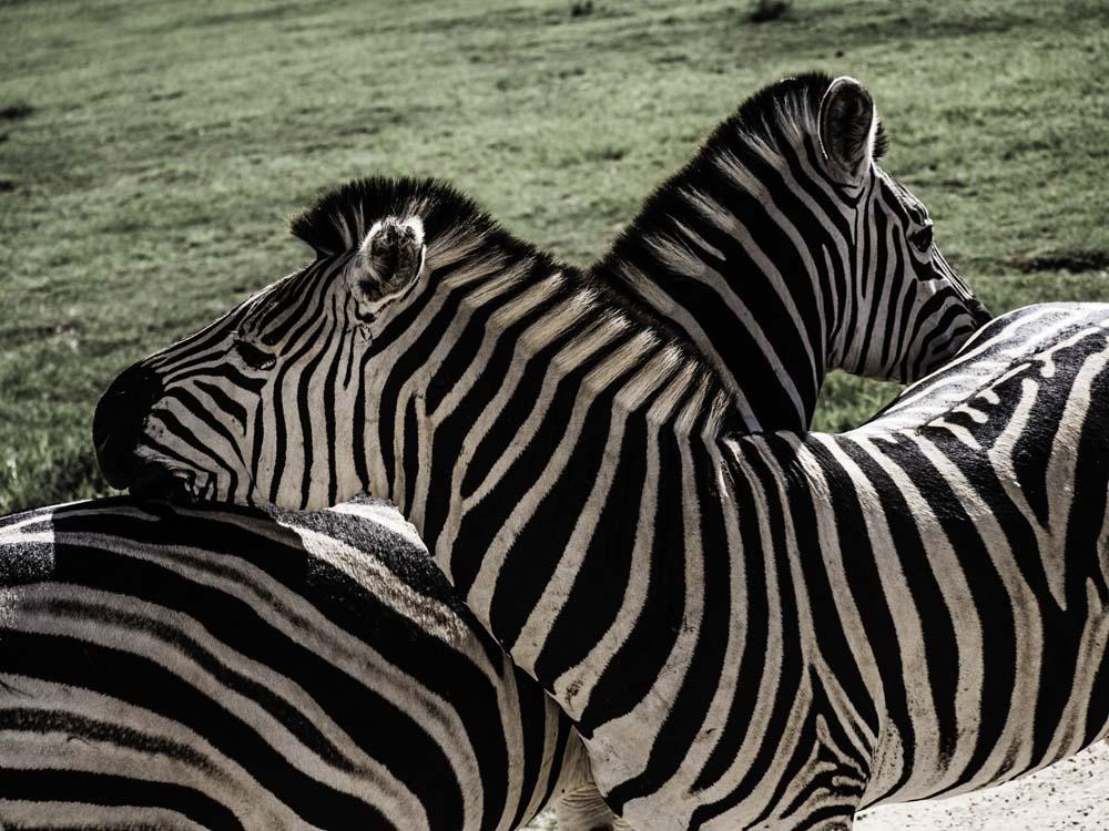 South Africa Blog_ Zebra.jpg
