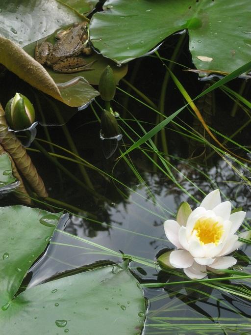 frog-lily.jpg