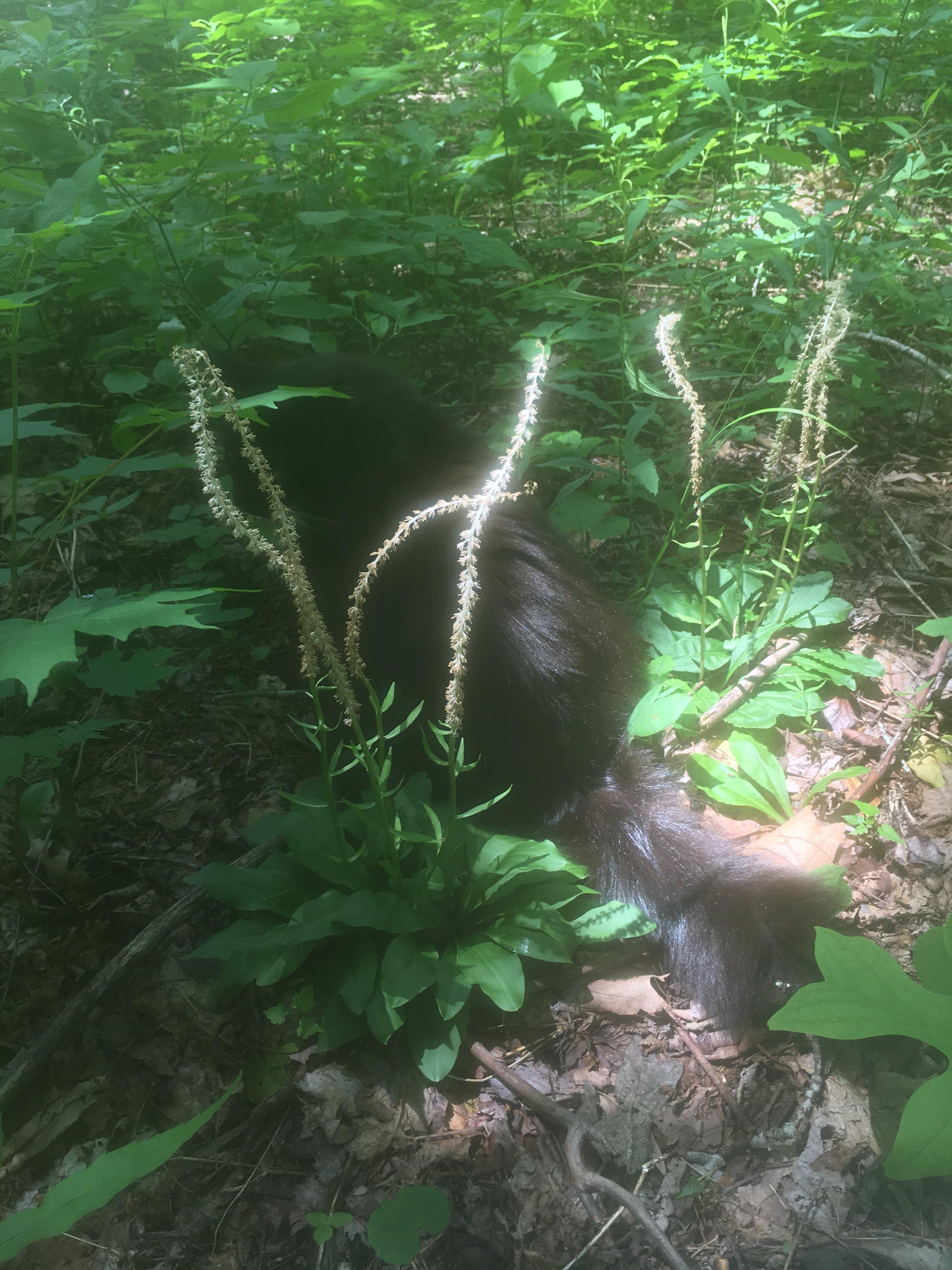 Cat with flowering false unicorn
