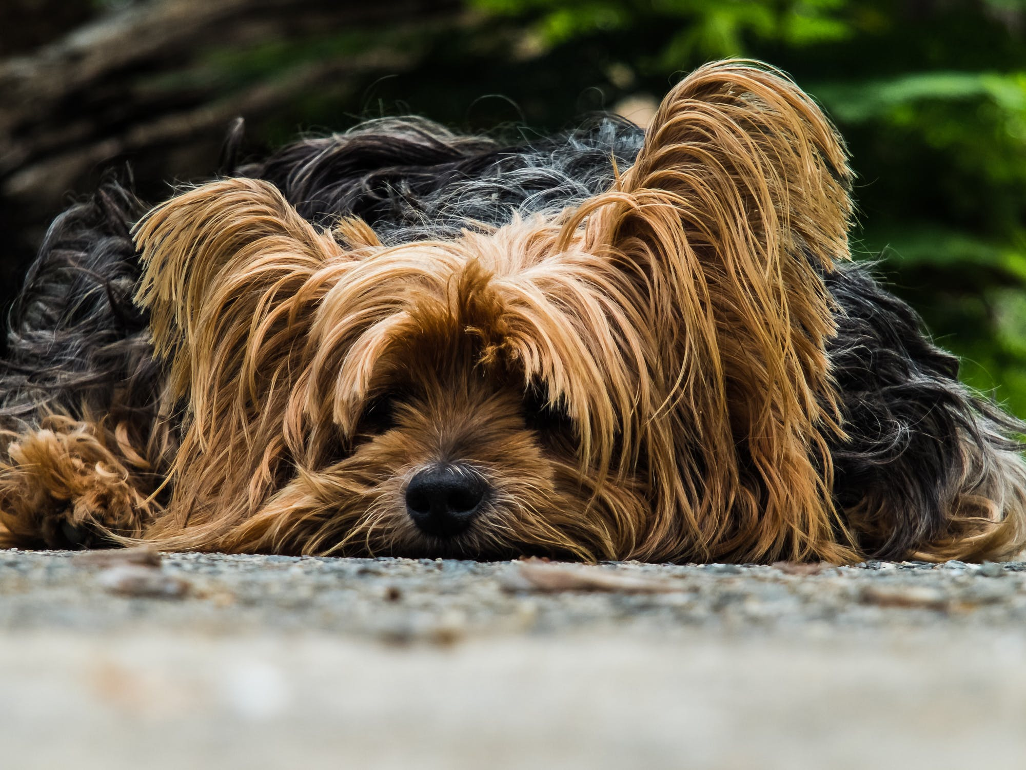 dog-yorkshire-terrier-lazy-dog-65594.jpeg