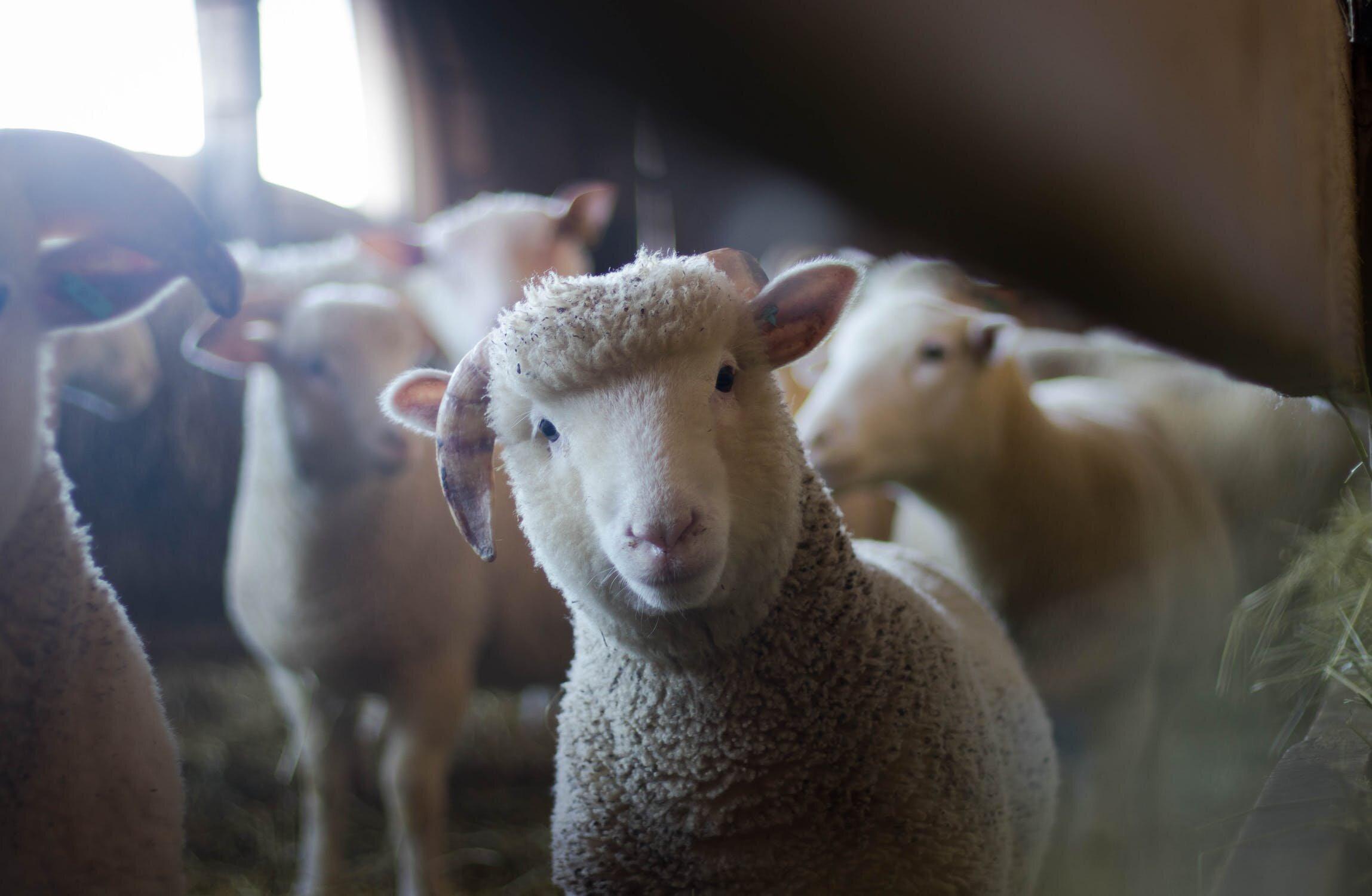 pexels-photo-288621 sheep.jpeg