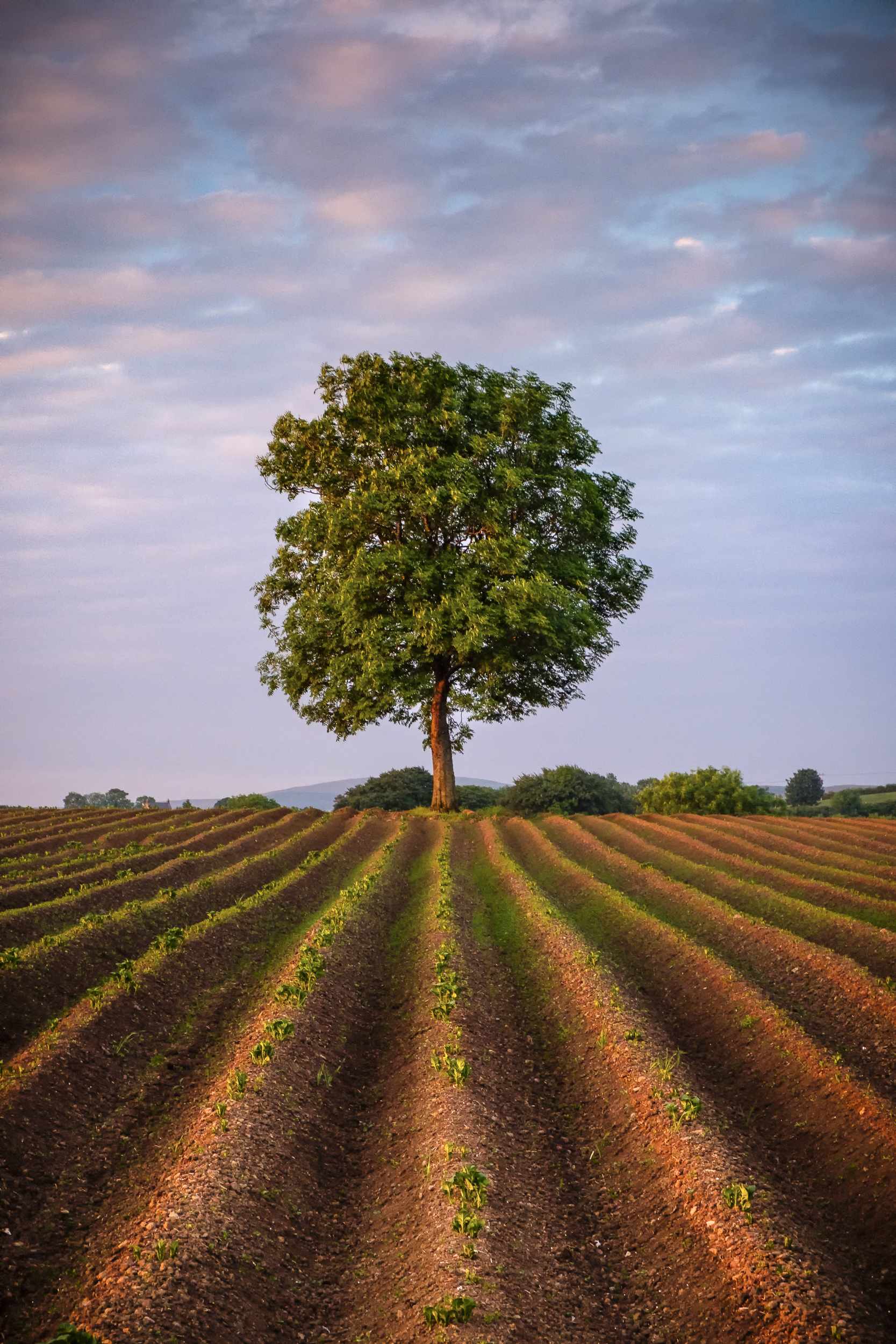 The tree and the potato field