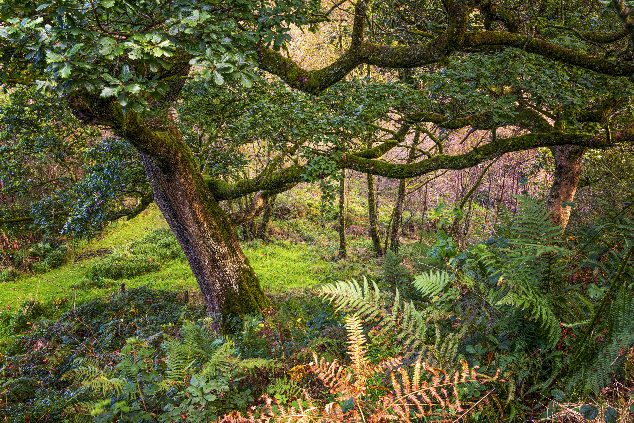 This is my favourite photograph from the day. I like the impact of the golden bracken in the foreground and connection between the two oak trees, like an old and happy couple, arm in arm, holding on to each other whatever the weather throws at them.