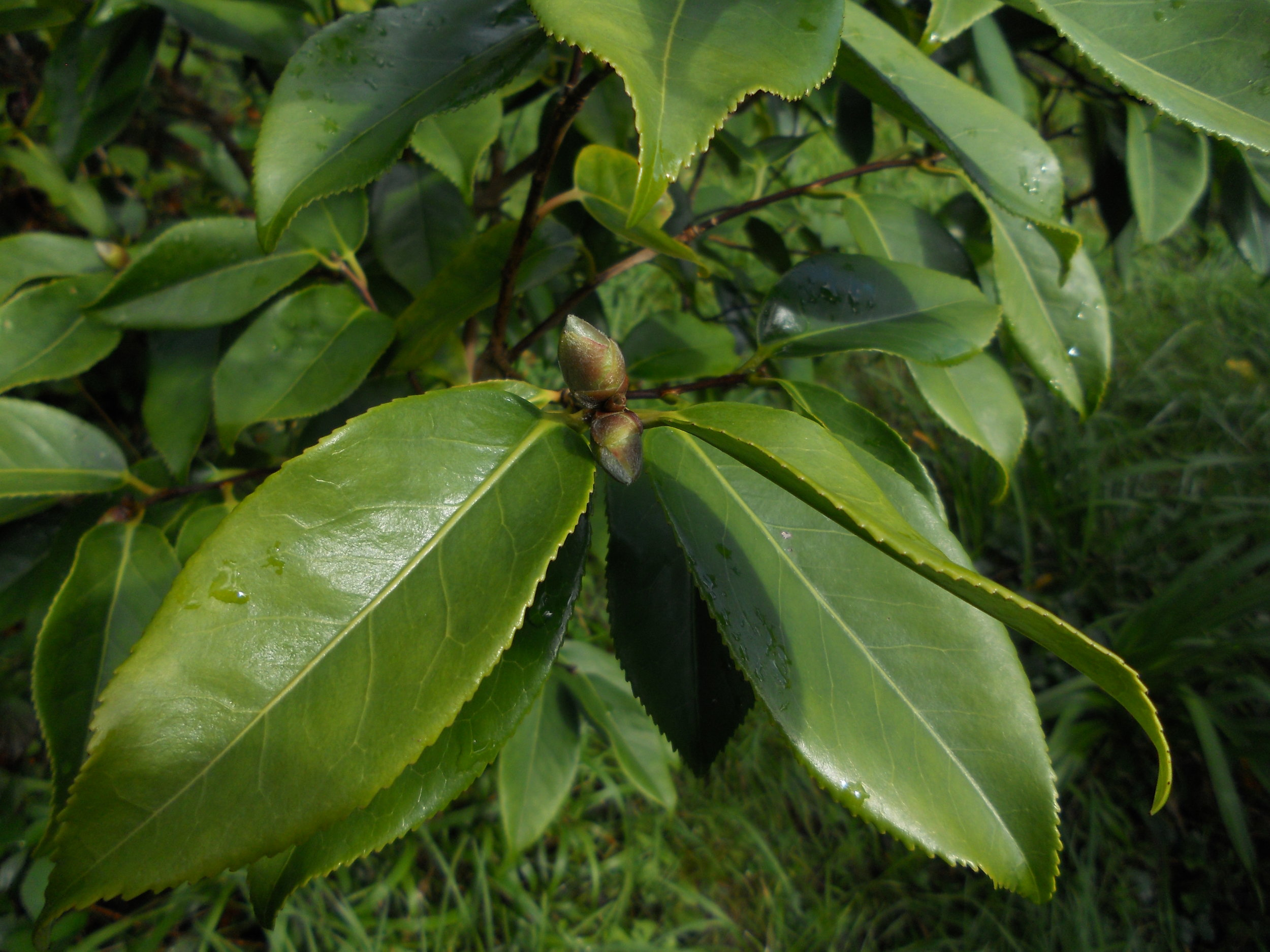 Buds on Anastazia for first time - home-grown seedling.JPG