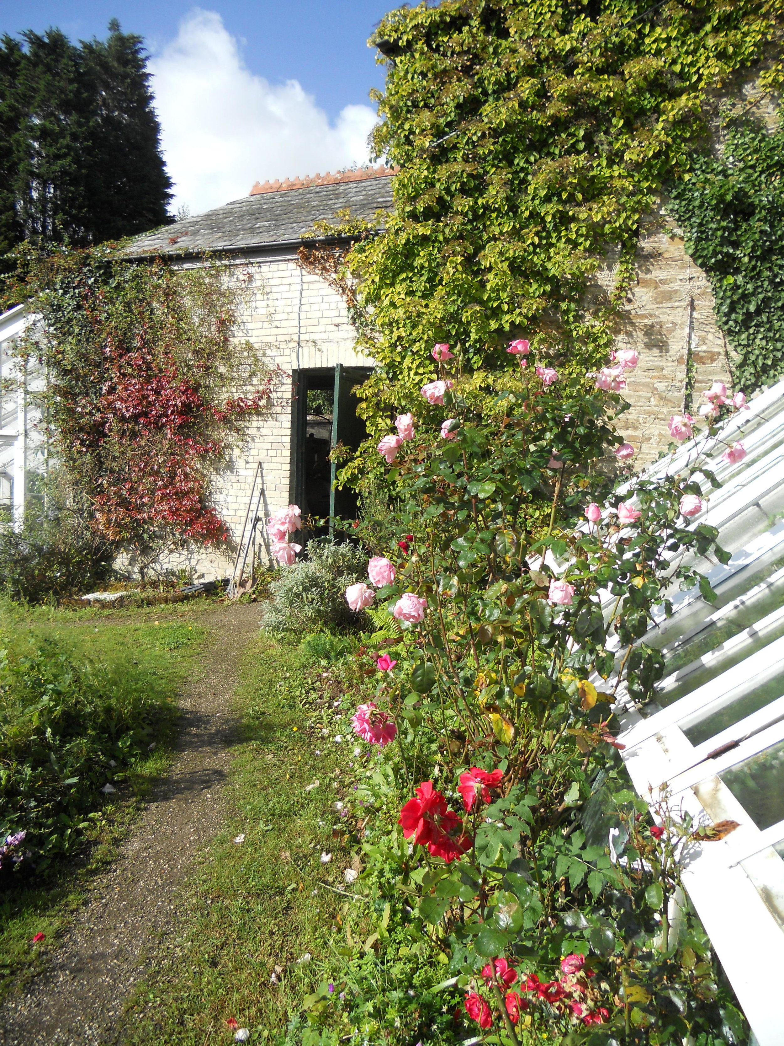 Late Summer Roses by the Peach Houses.JPG