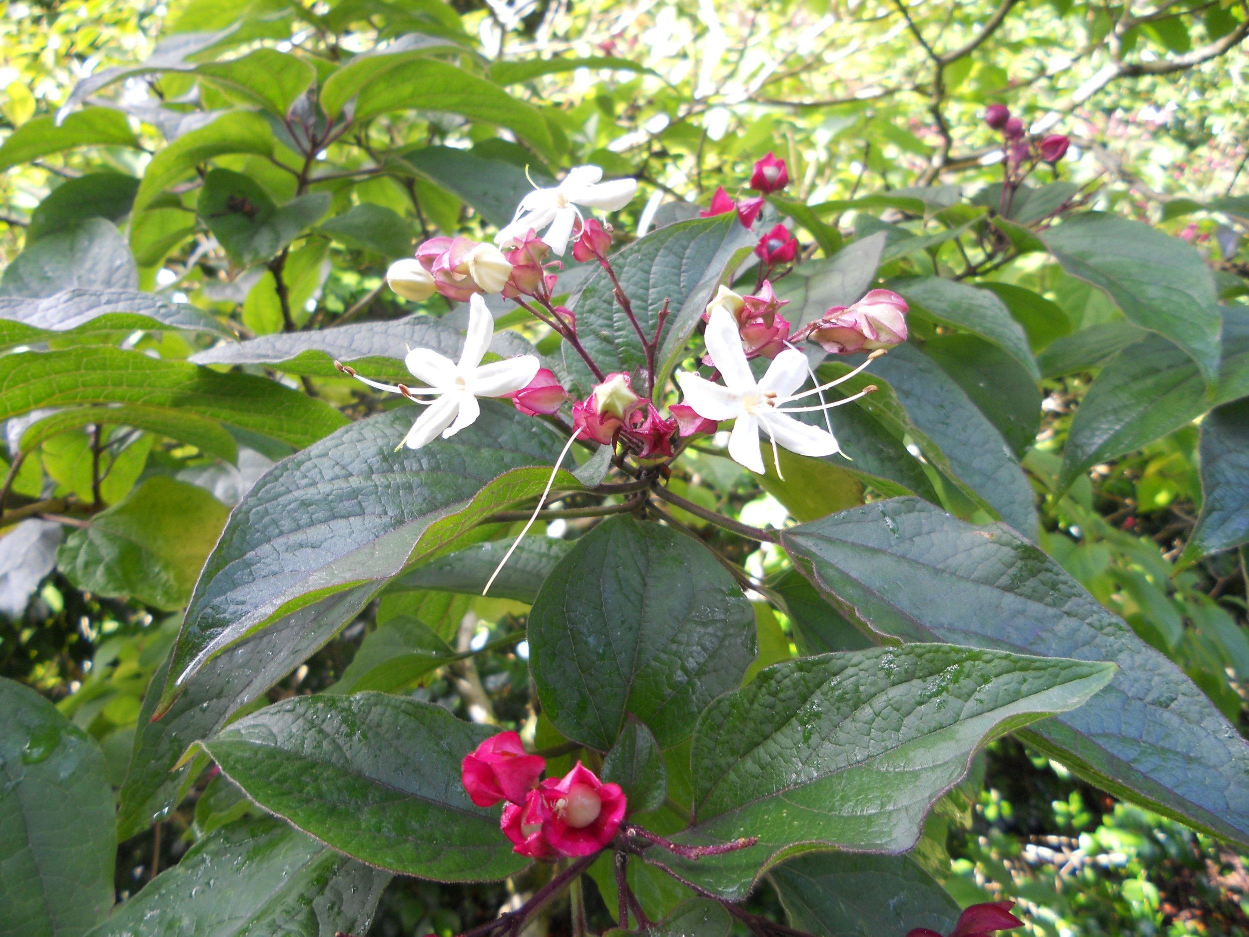 Clerodendrum trichotomum fargesii - highly fragrant!.JPG