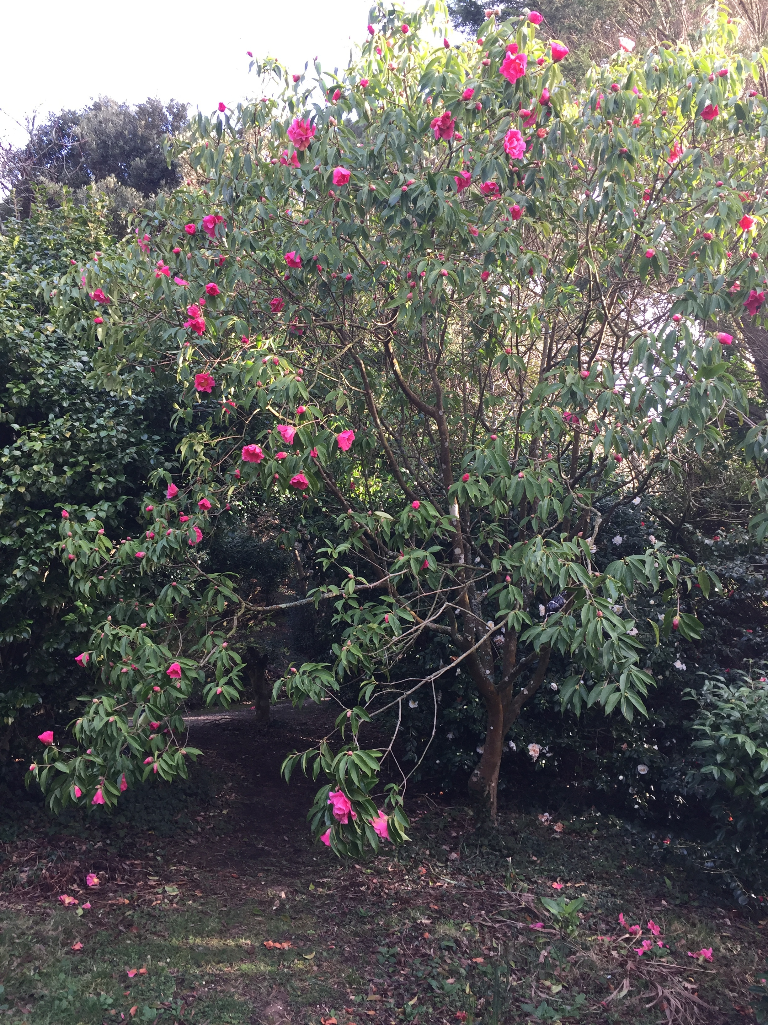 Camellia reticulata Buddha.JPG