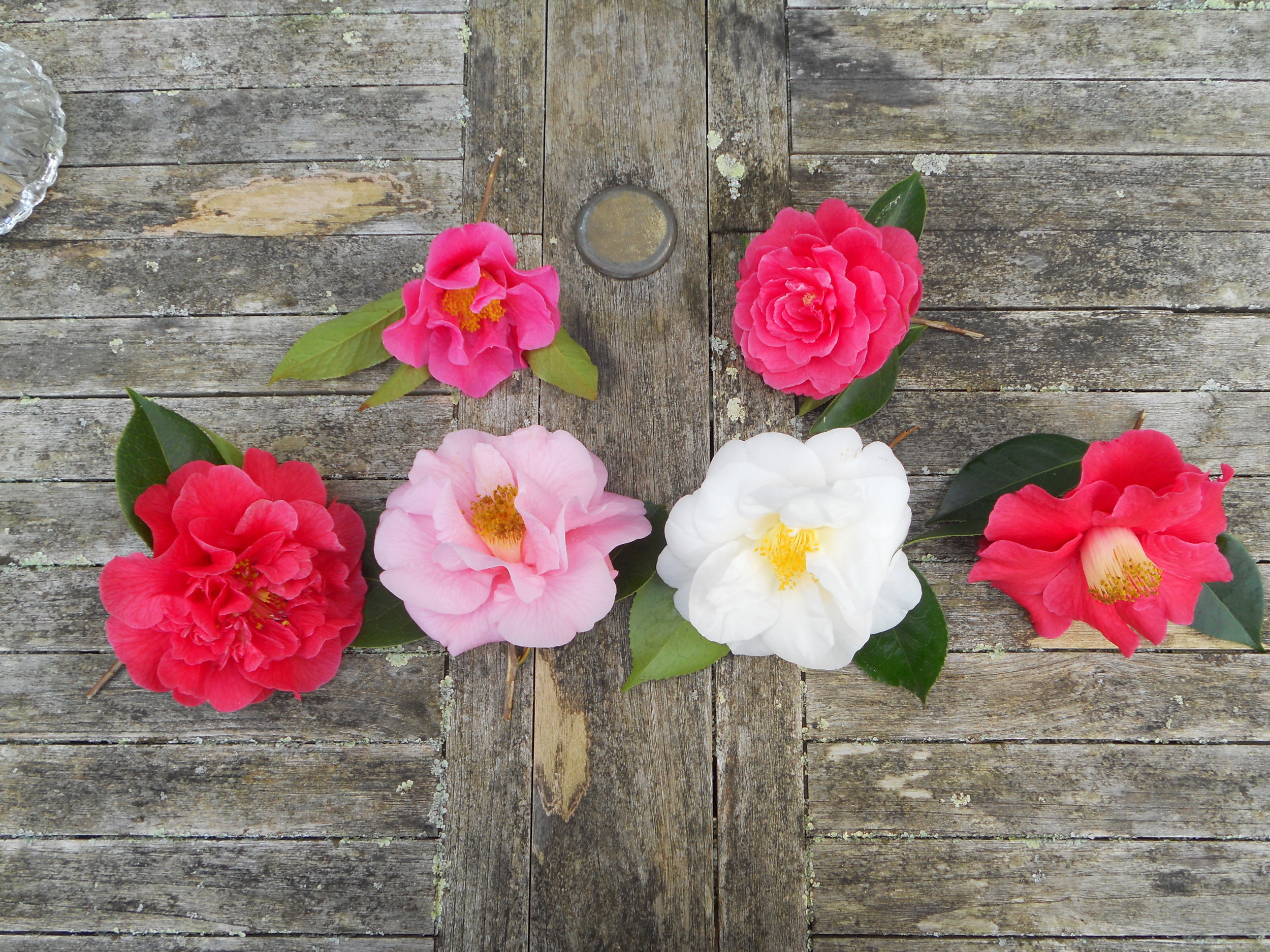 Six show blooms.JPG