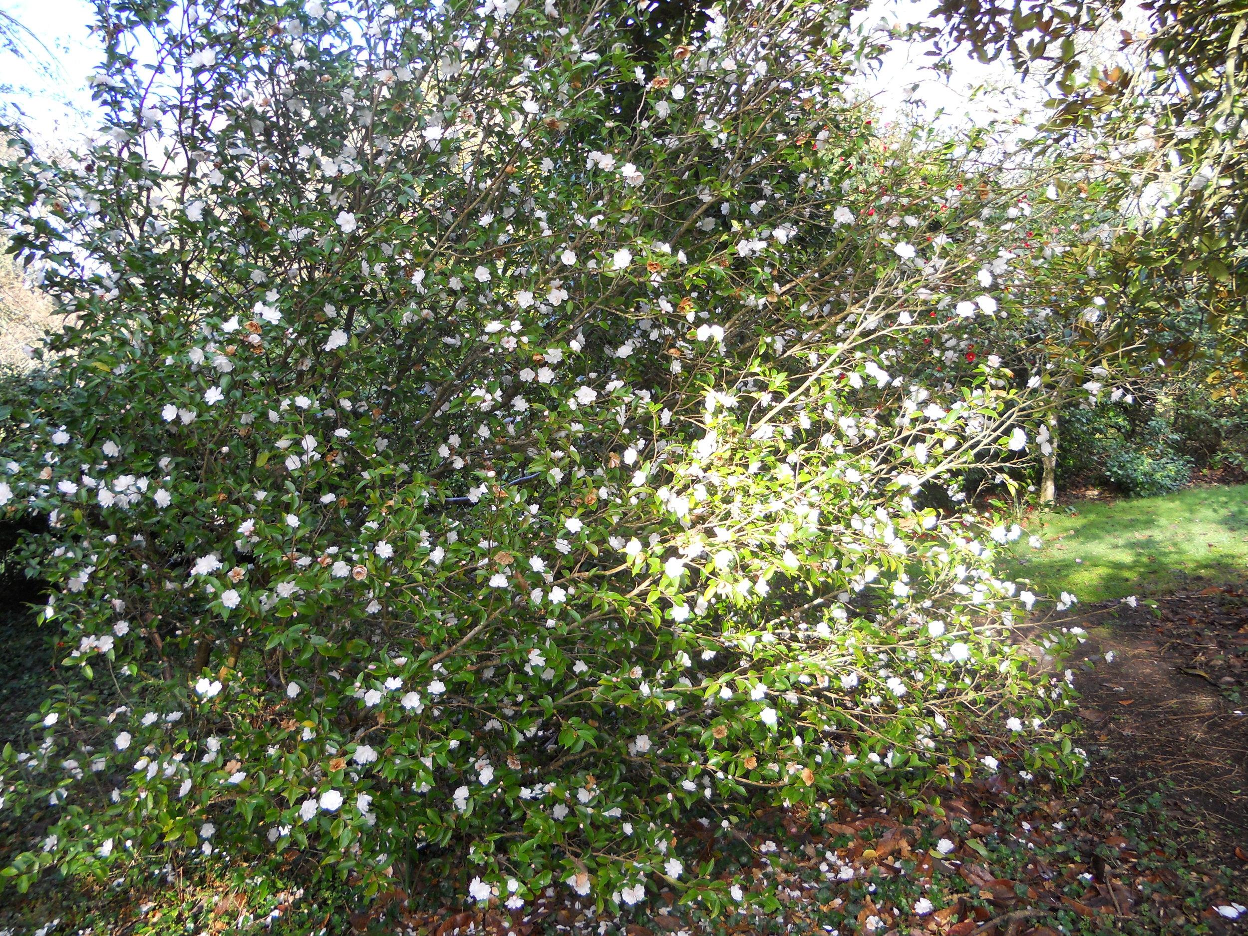 Cinnamon Cindy - japonica x lutchuensis.JPG