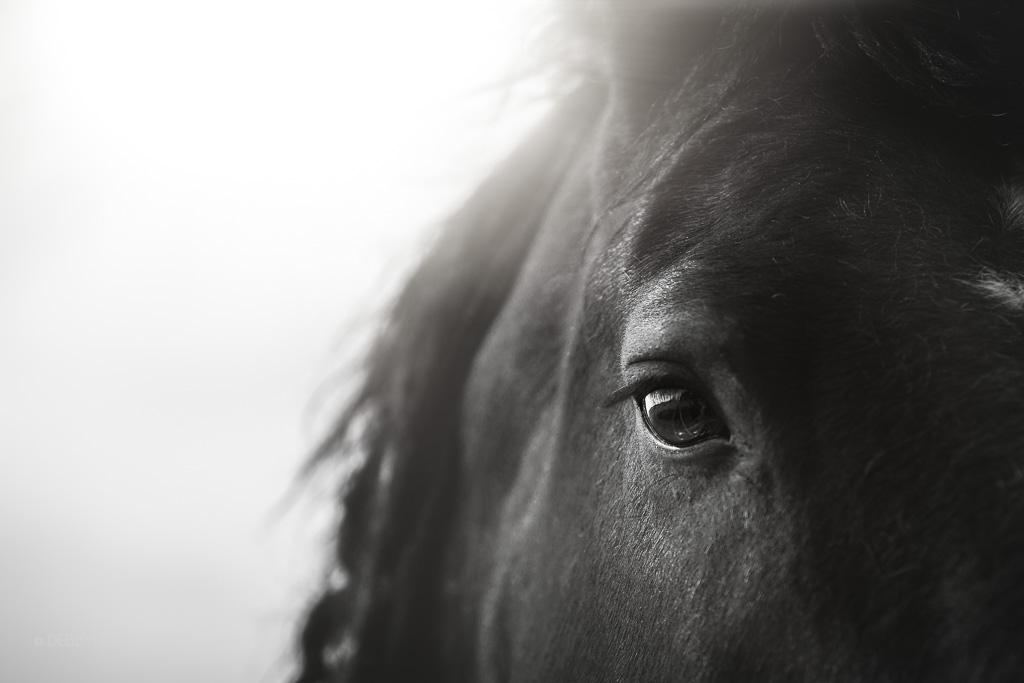 Close up of Percheron cross horse's eye