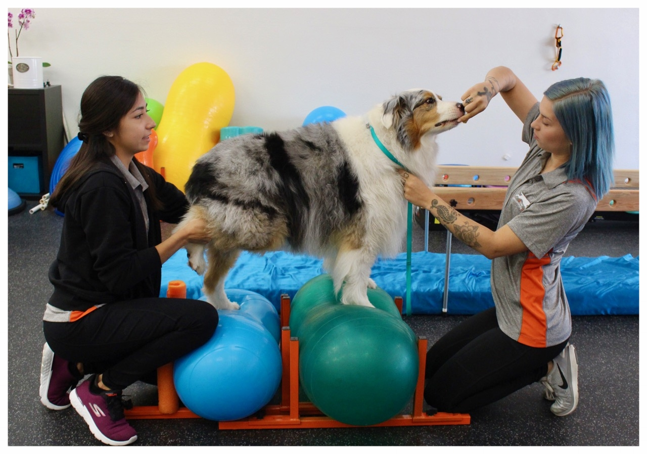 Balancing with three legs on peanut balls is an excellent way to build core strength! Bella had knee surgery on her left hind limb and this exercise allows us to specifically target left hind limb strengthening in addition to core strengthening.