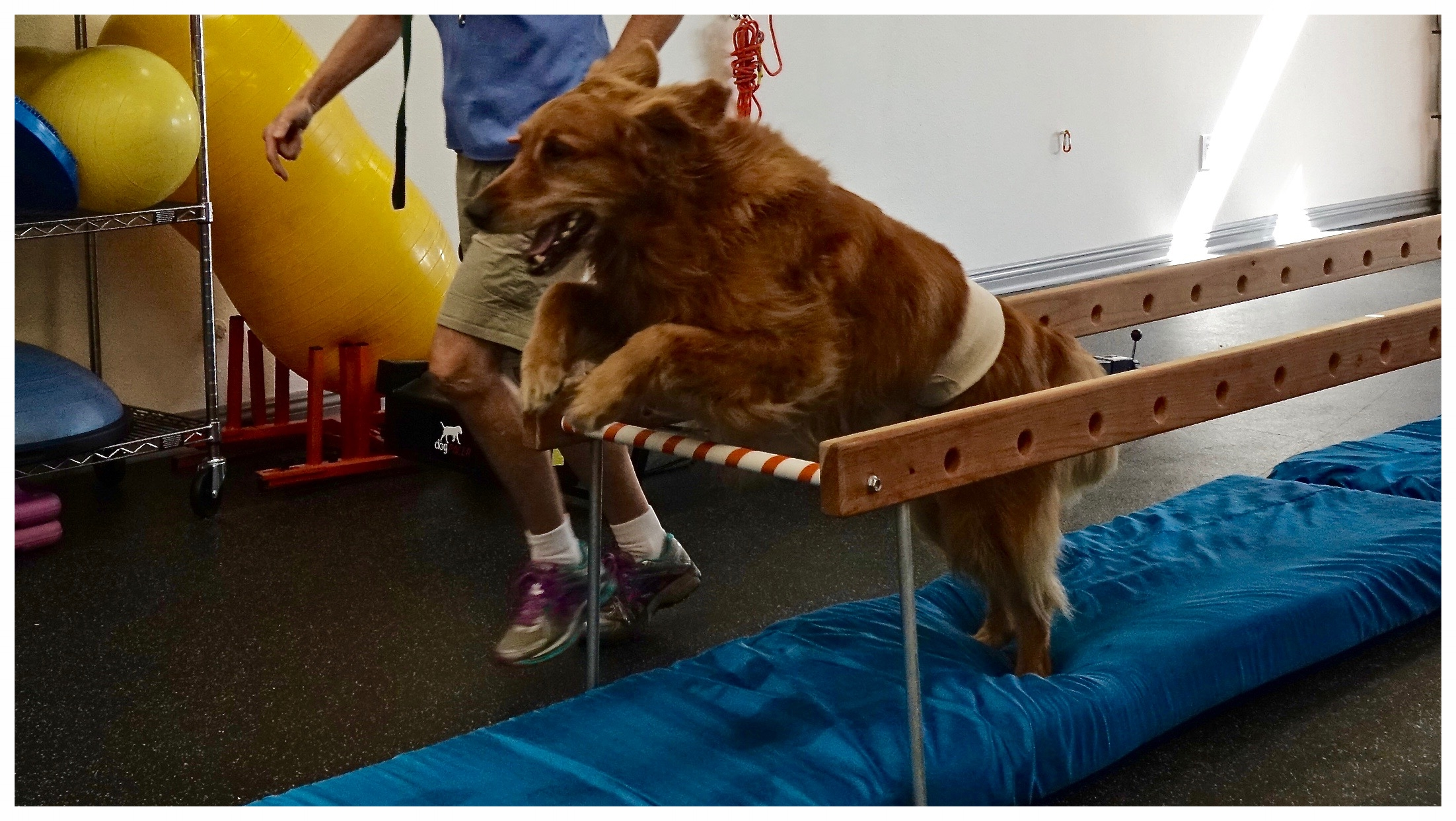 Jumping is a very effective exercise for pets working on returning to a high level of activity. This exercise is perfect for hind end strengthening and for building endurance.