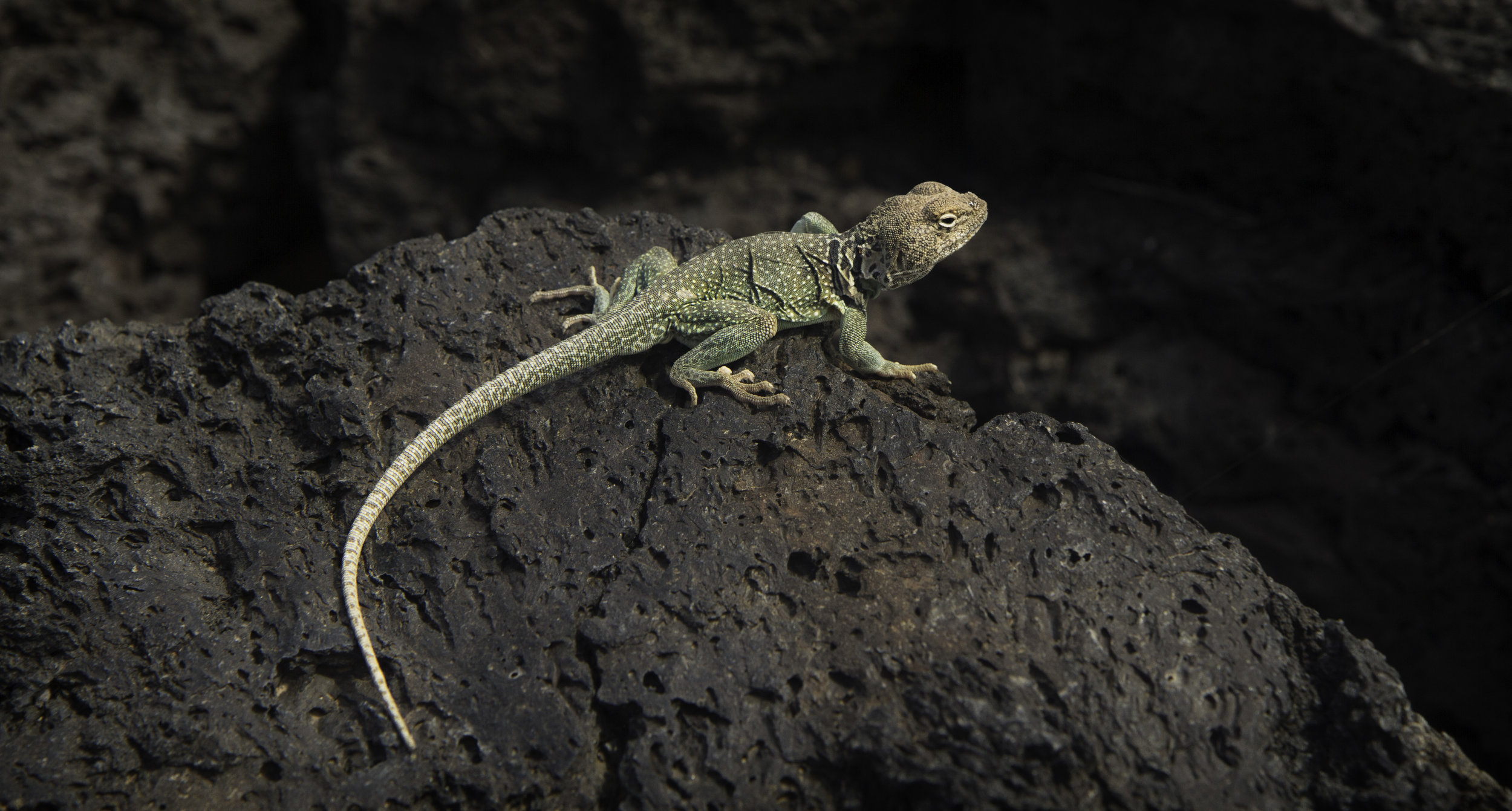 Lizard of Lava Flows1.jpg