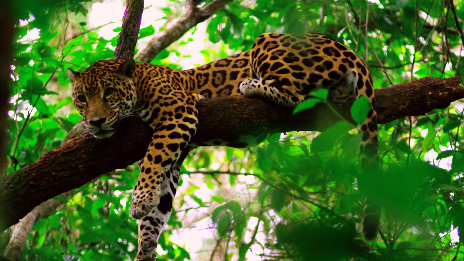 belize jaguar.jpg