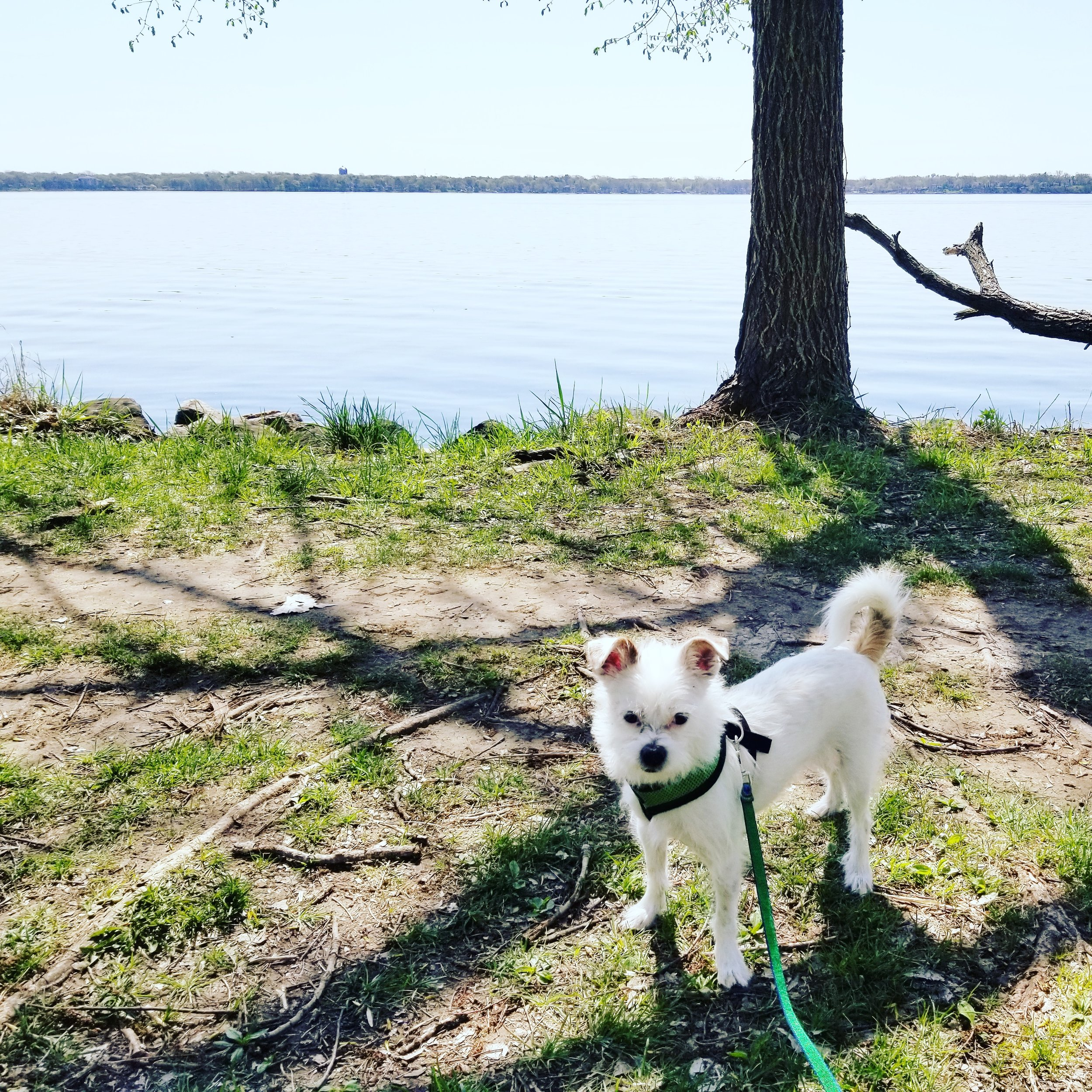 Our dog Atwood monitoring lake levels at Yahara Place Park.