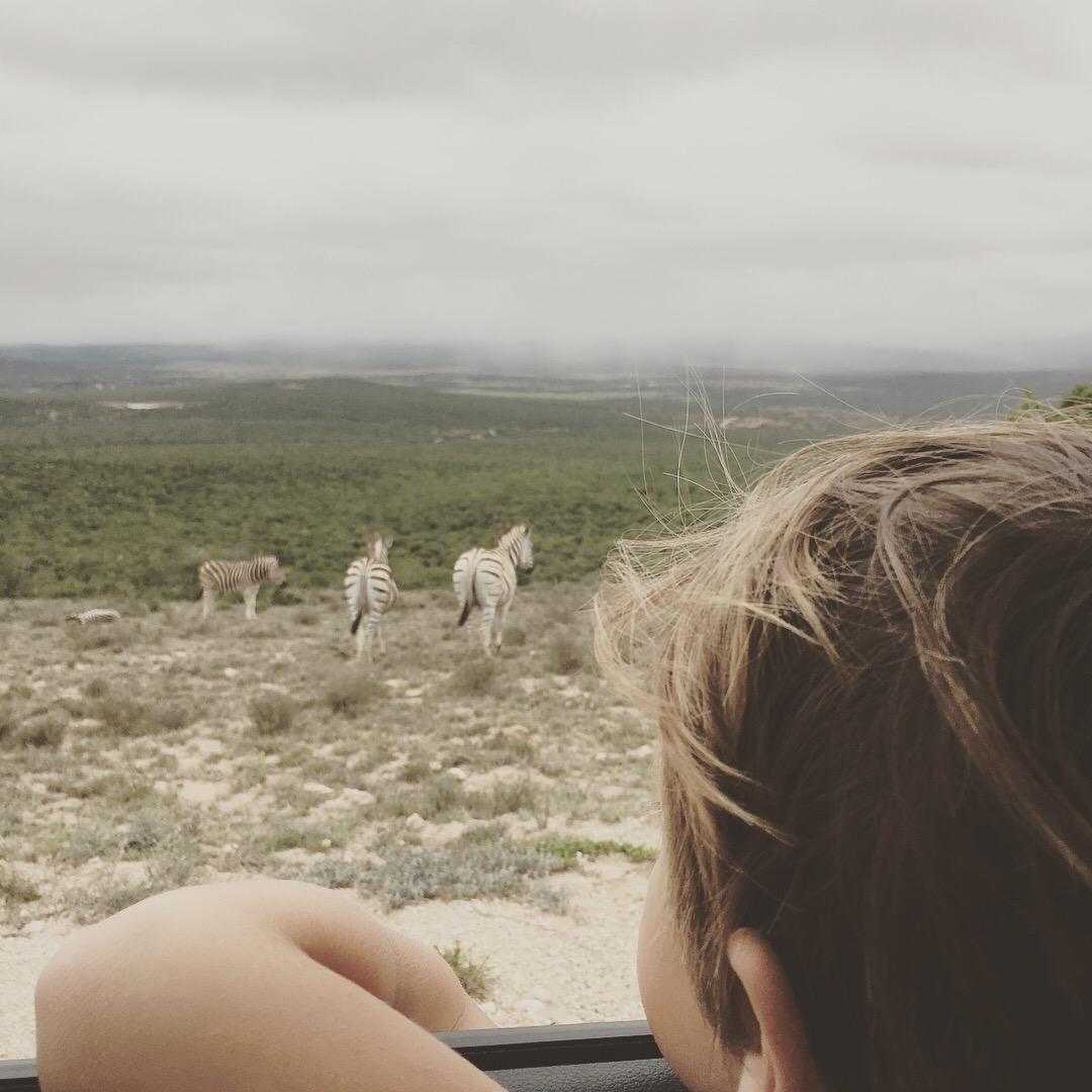 Mirando las zebras desde la ventana del auto.