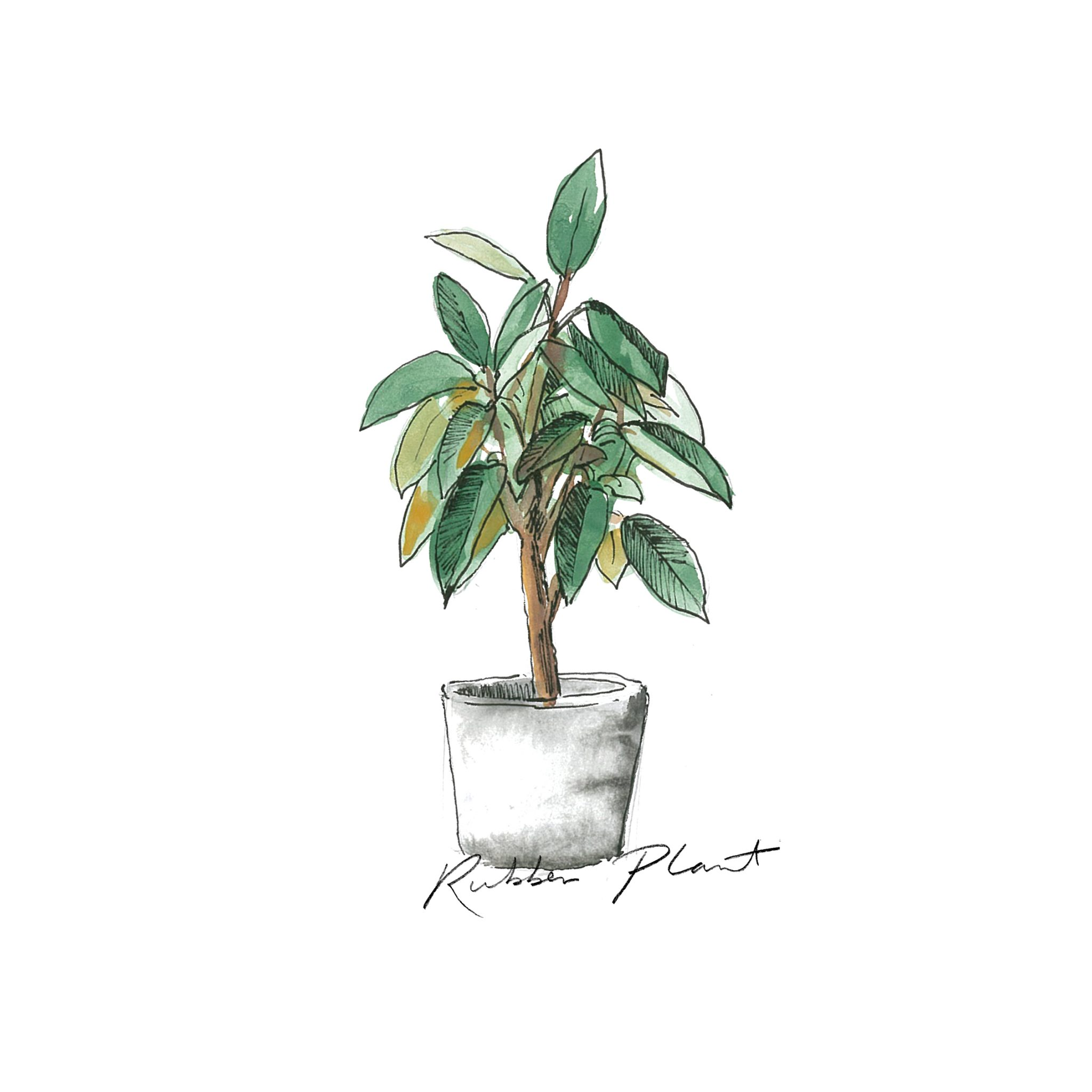 Rubber Plant - Indoor Plants - The Beach People