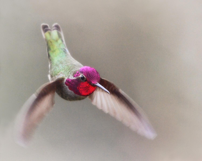 No317_Hummingbird-Jewel-in-Flight_1500w72r-H.jpg