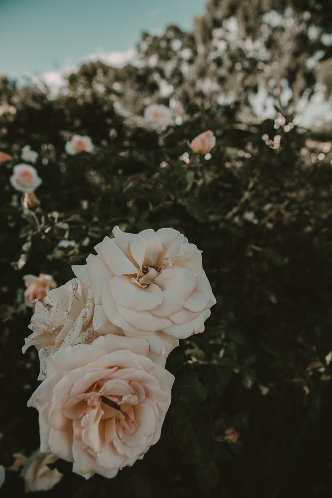 RoseGarden-11.jpg