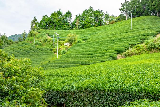 matcha tea plantation japan.jpg