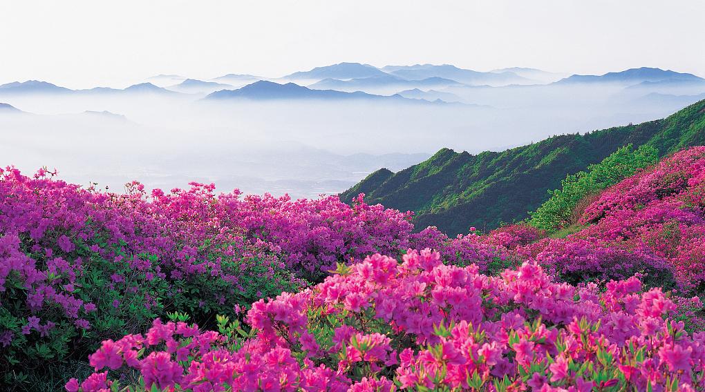 """百里杜鹃天然原始林带是国家级森林公园,2013年成功晋升为5A级景区。这里被誉为""""世界上最大的天然花园"""",享有""""地球彩带、世界花园""""之美誉。"""